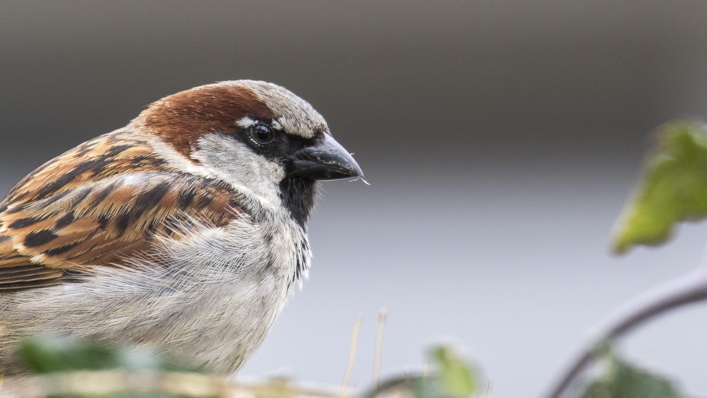 Male House Sparrow.jpg