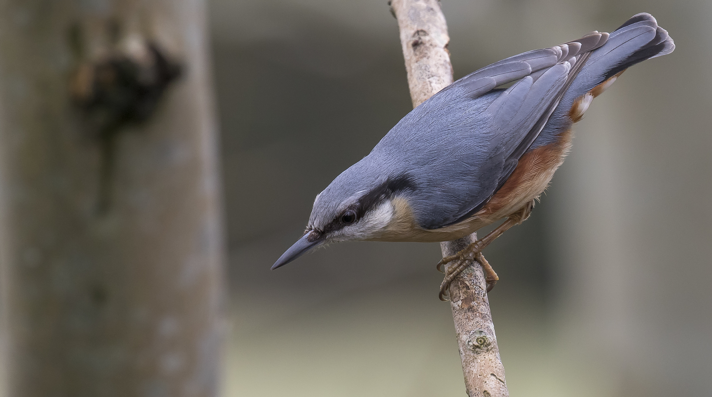 Nuthatch Right 3rd April.jpg