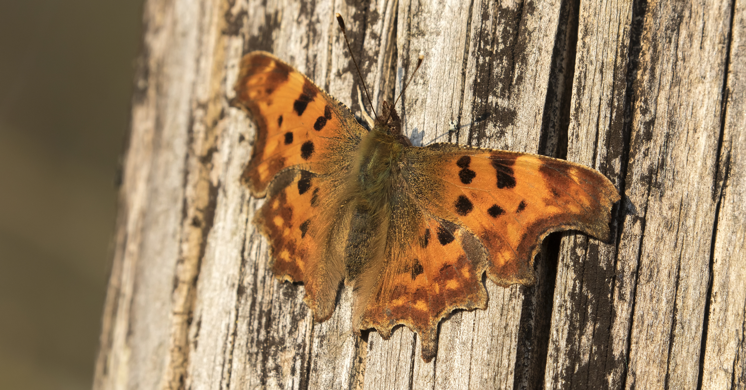 Comma Butterfly Close 7th April.jpg