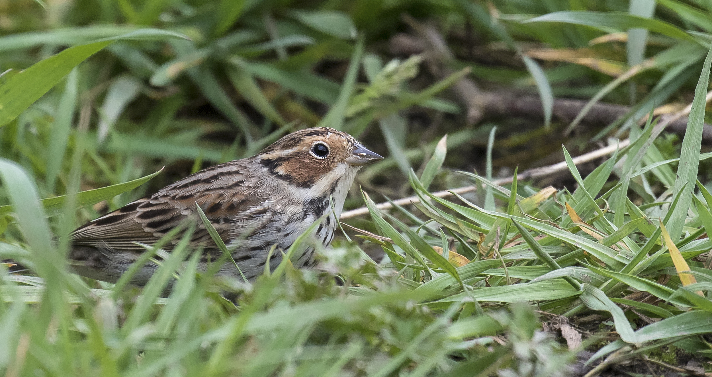 Little Bunting on Deck 5th April.jpg
