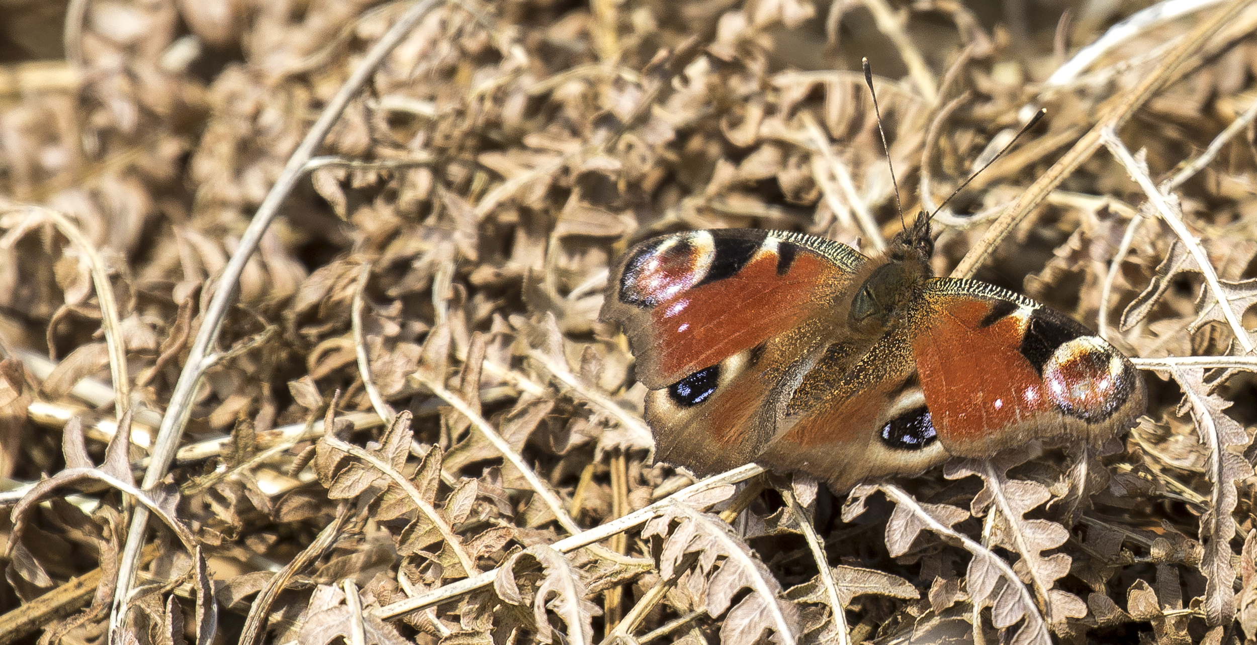 Peacock Butterfly 5th April.jpg