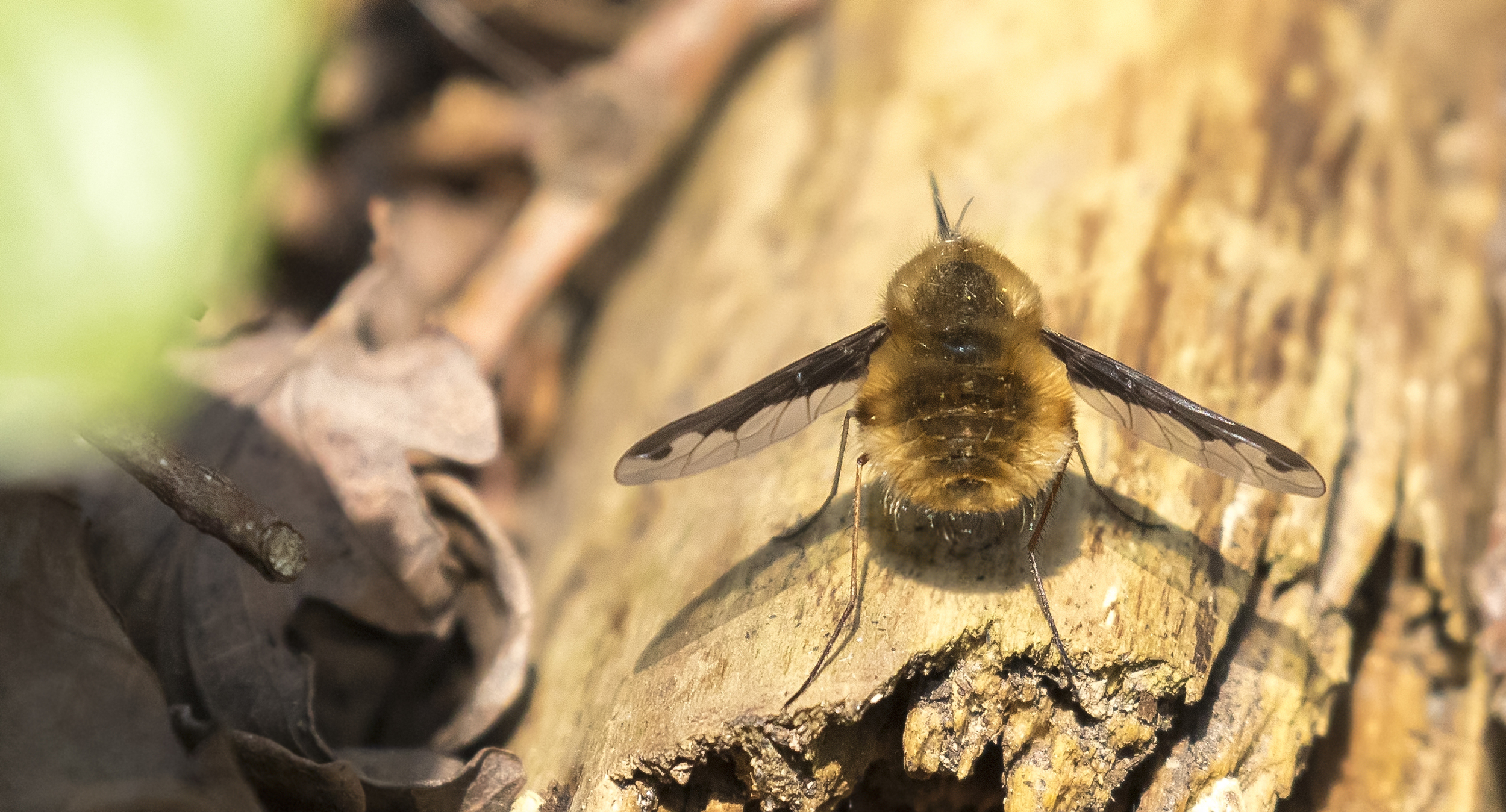 Dark-edged Bee-fly 9th April.jpg