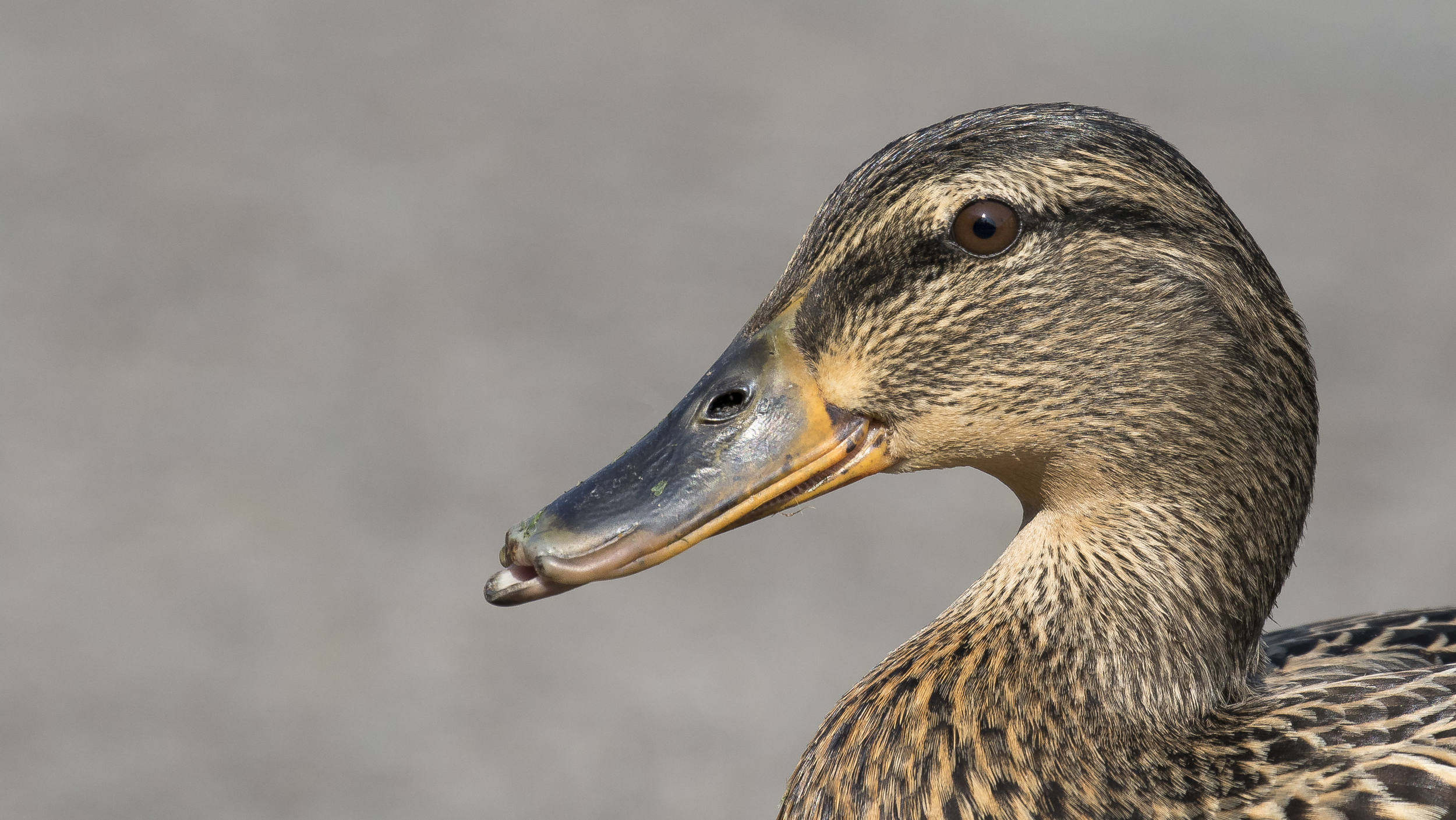 Female House Mallard 14th April.jpg