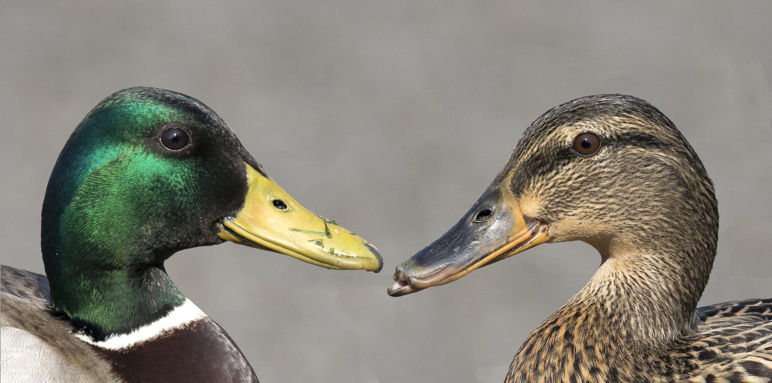 House Mallard Pair 14th April.jpg