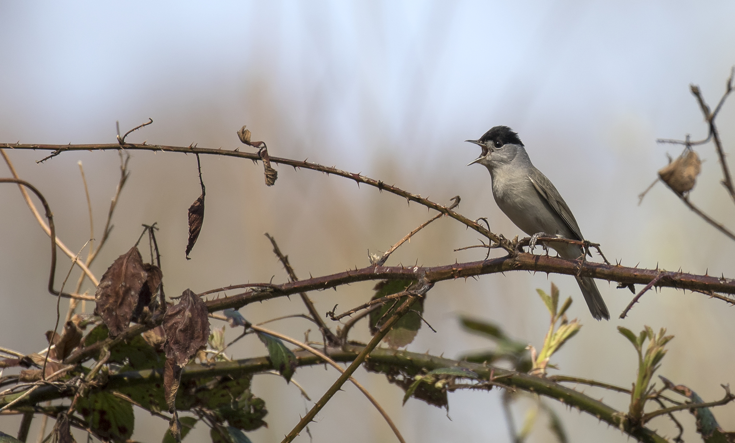 Blackcap Singing 10th April.jpg