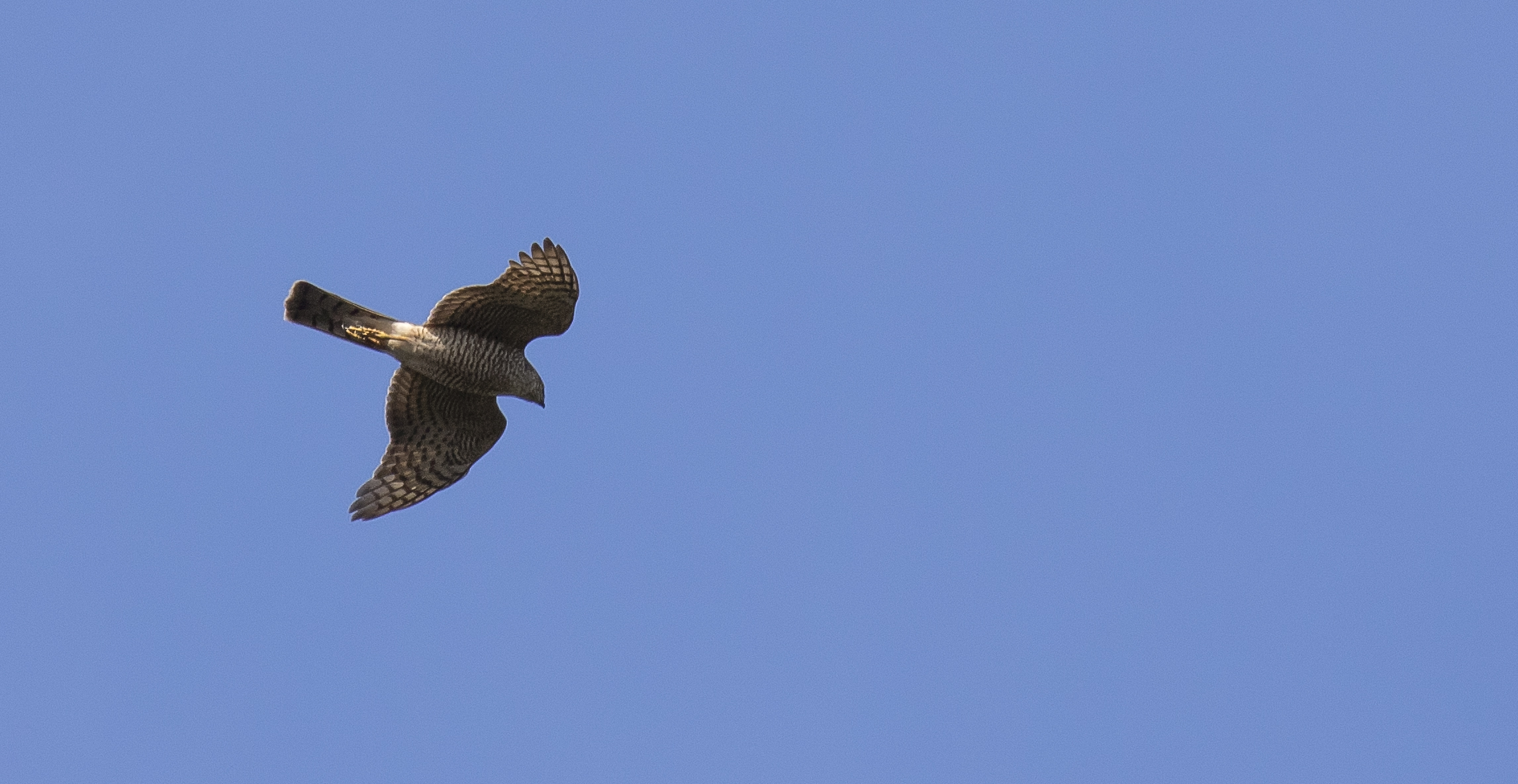 Sparrowhawk Best 11th April.jpg