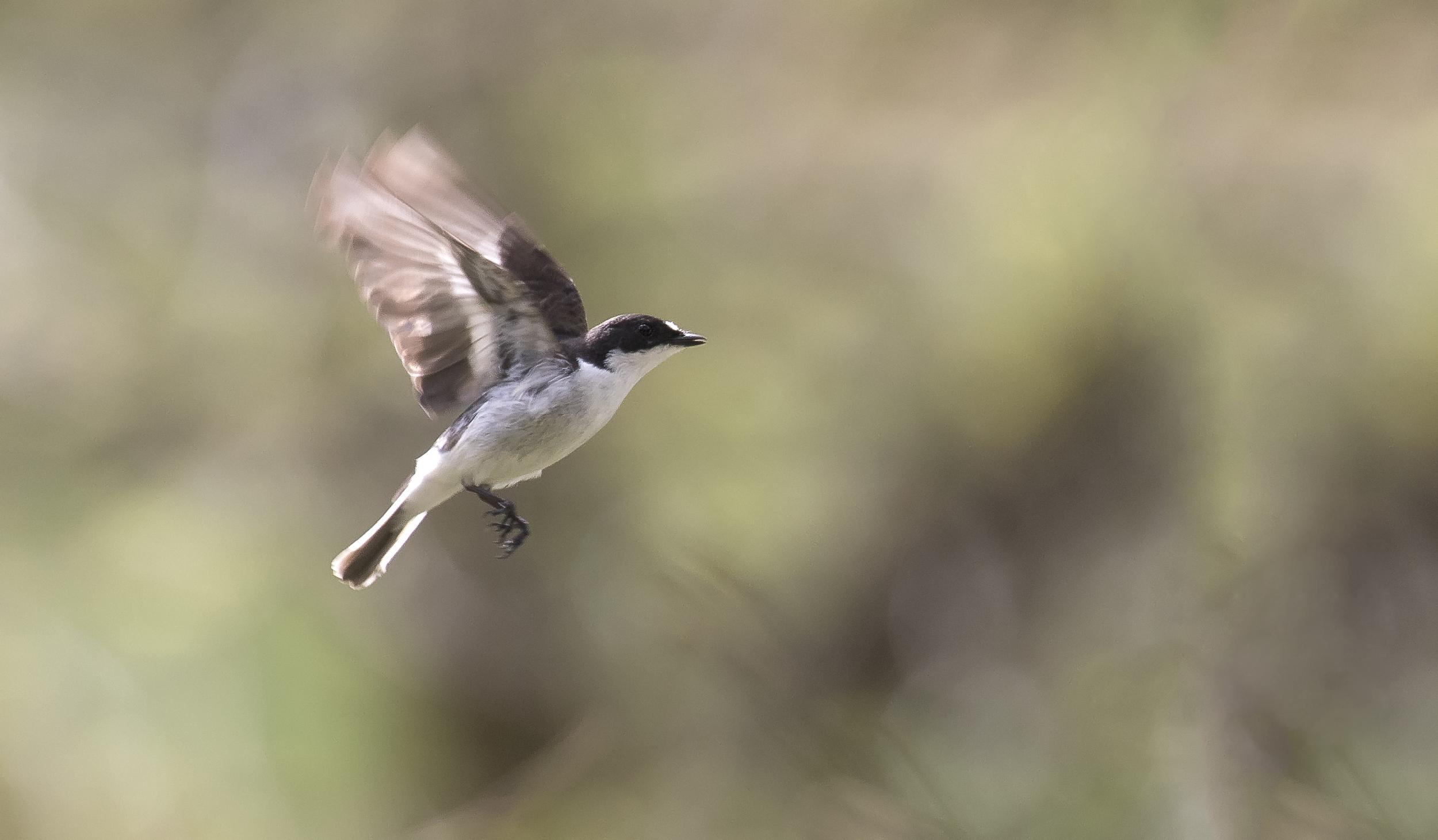 Pied Flycatcher Flight Shot 17th April.jpg