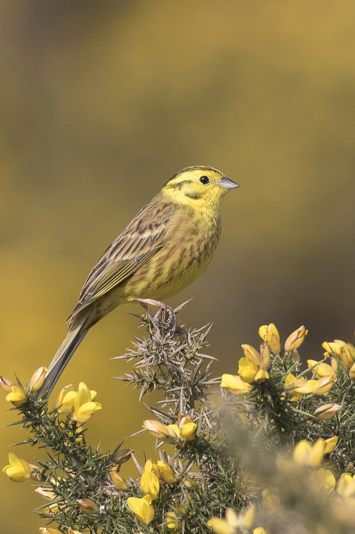 Yellowhammer Centred 17th April.jpg