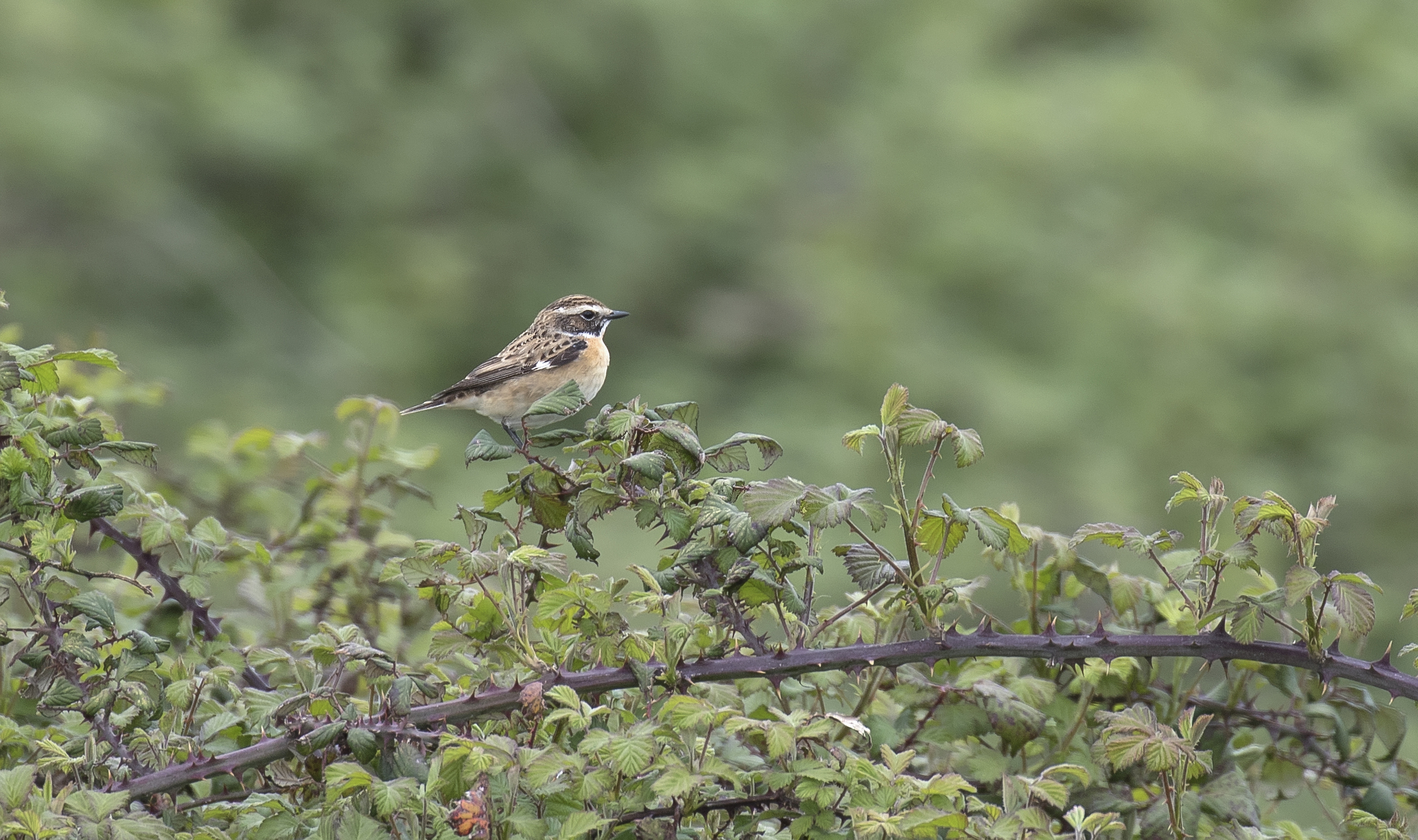 Whinchat 23rd April.jpg
