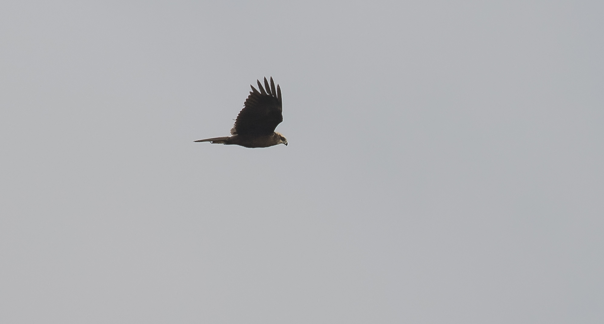 Marsh Harrier Female 23rd April.jpg