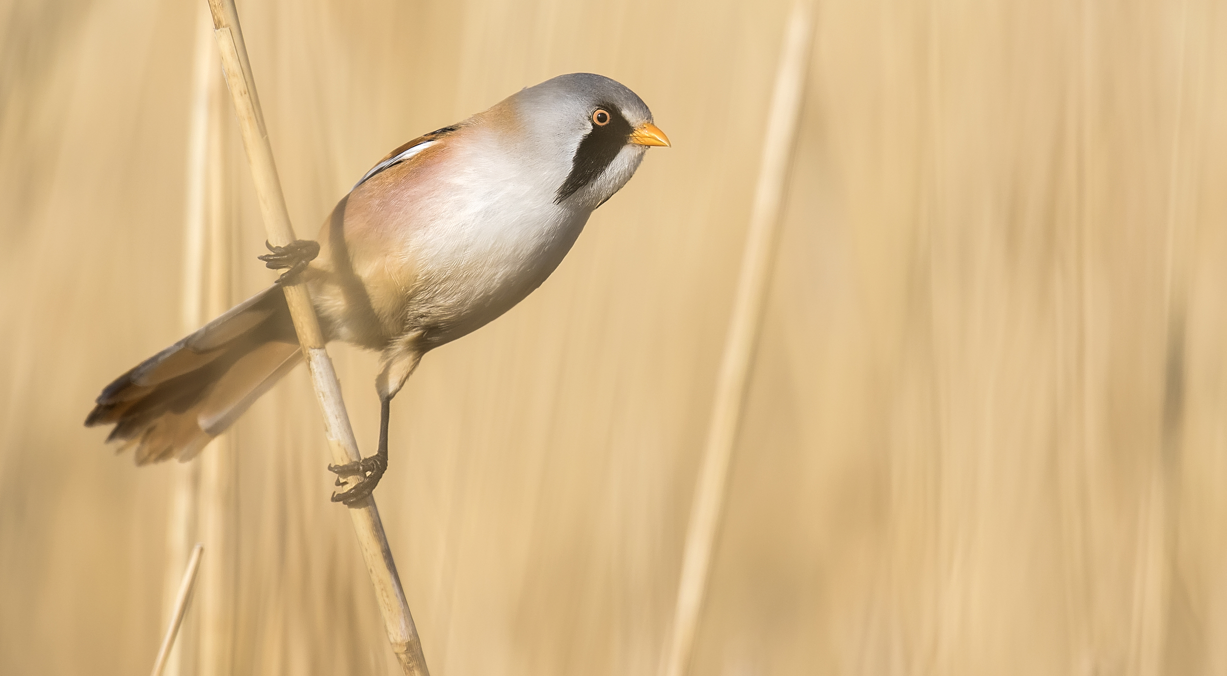 Bearded Tit Male Through Reeds 23rd April.jpg