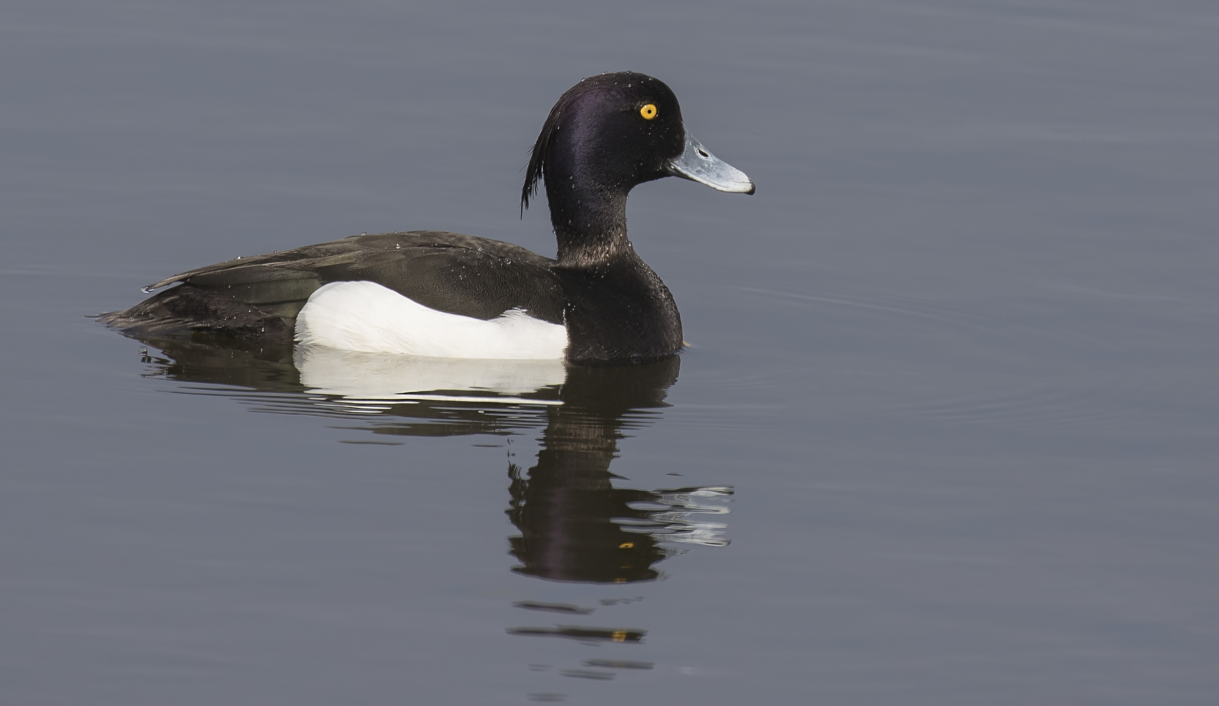 Tufted Duck 23rd April.jpg