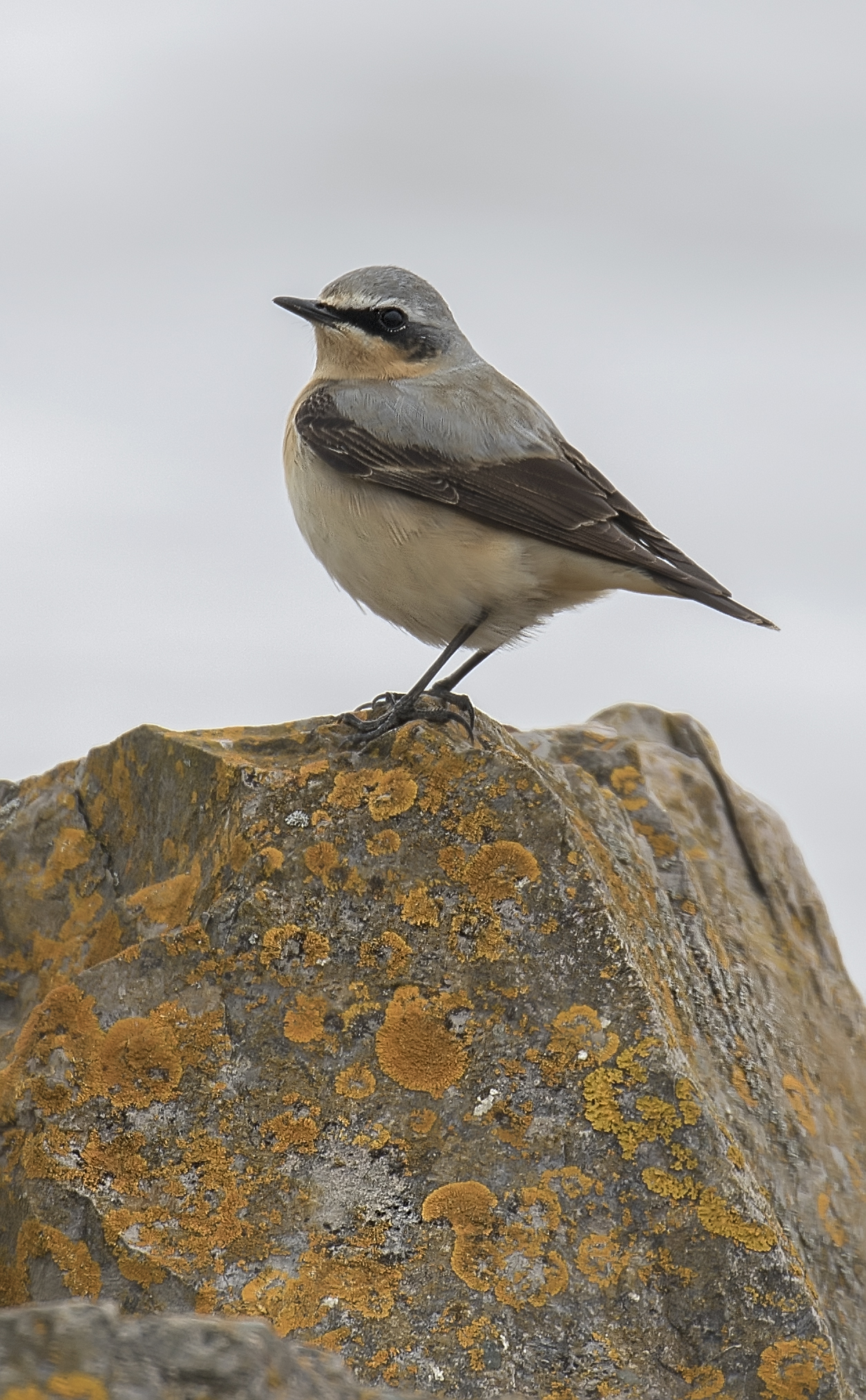 Wheatear Portrate 24th April.jpg