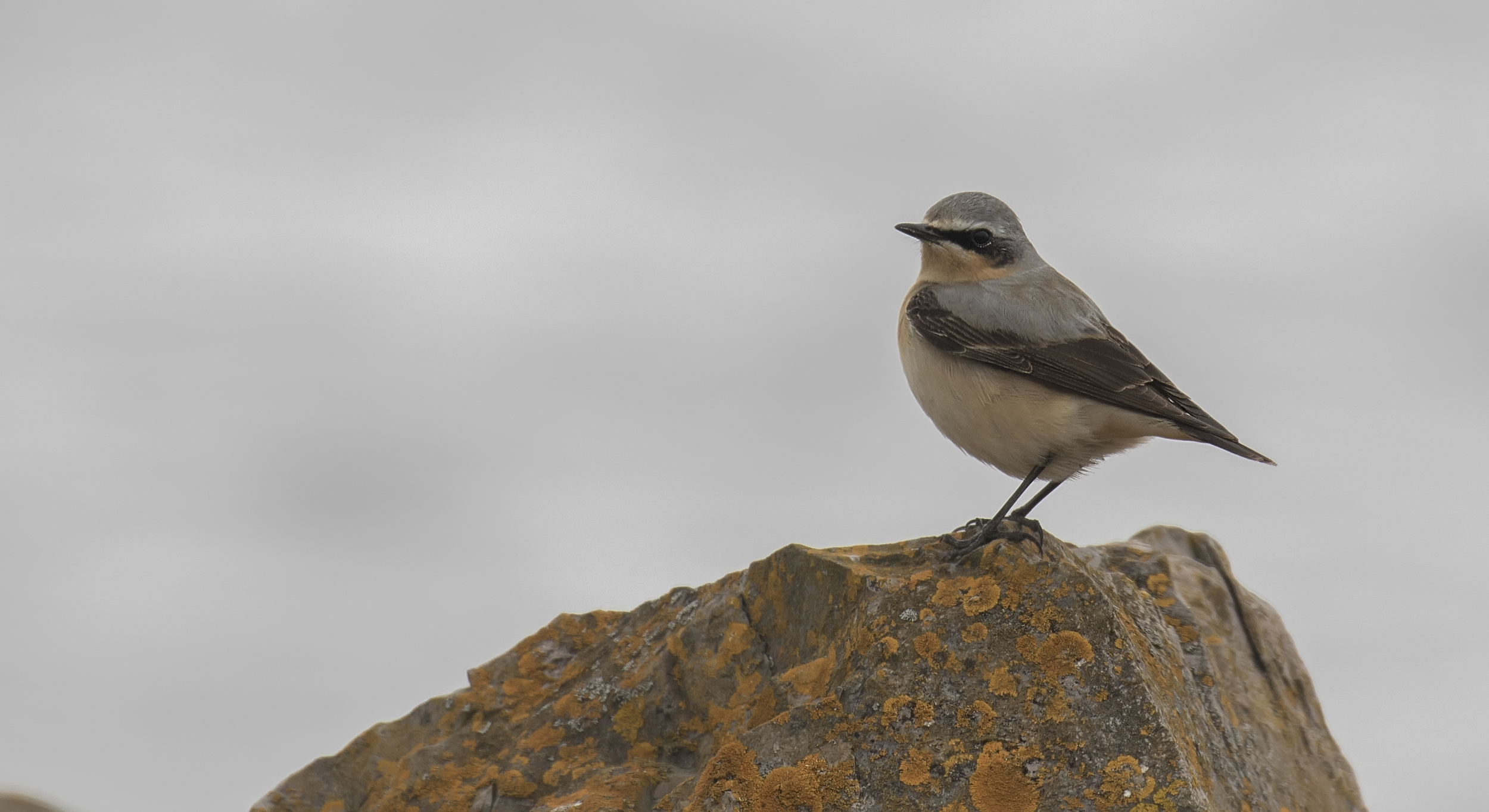 Male Wheatear 23rd April.jpg