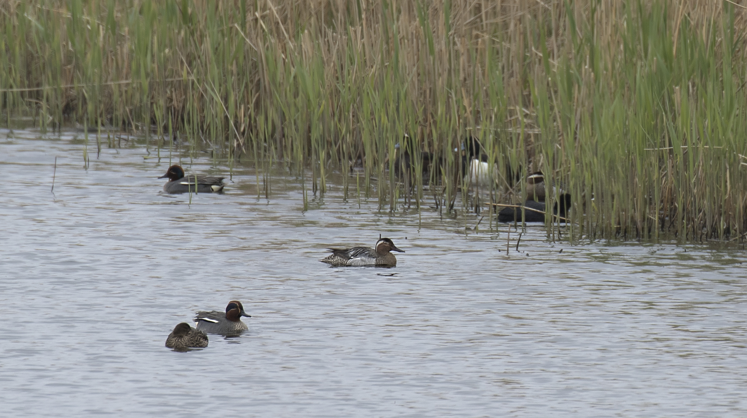 Garganey 23rd April.jpg