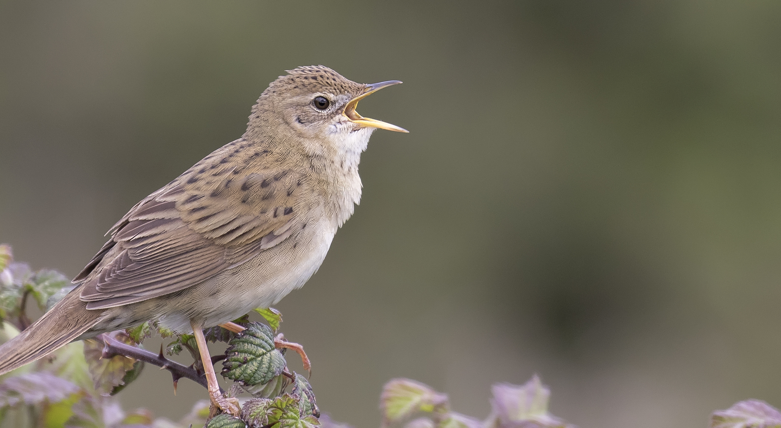 Grasshopper Warbler Crop 23rd April.jpg