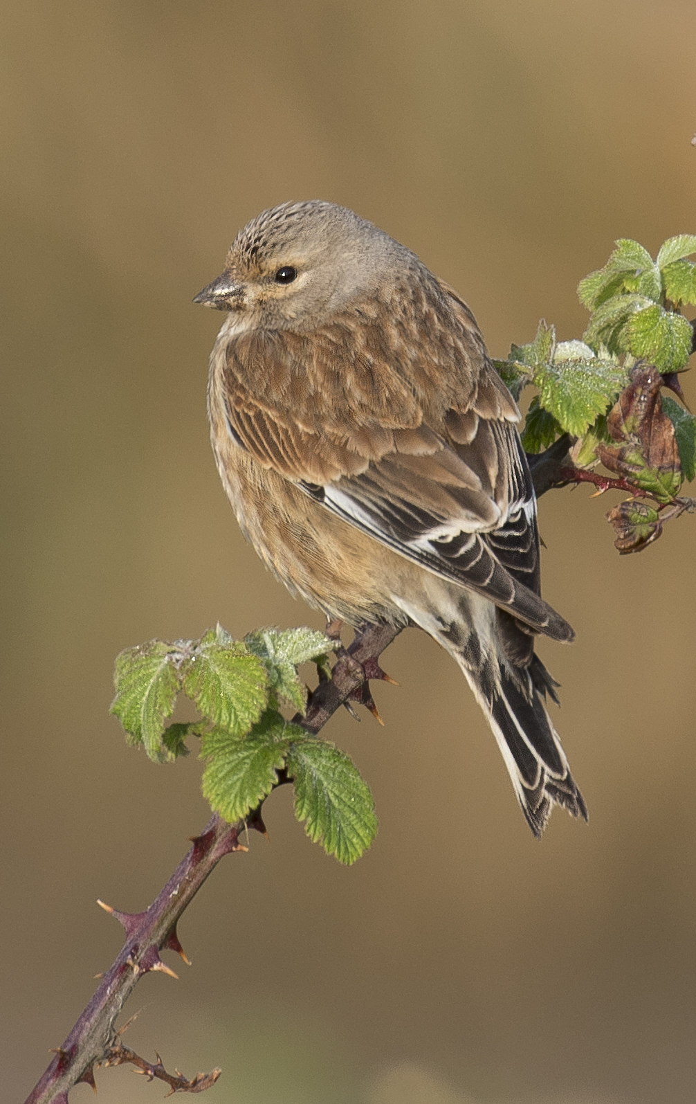 Linnet Crop 24th April.jpg