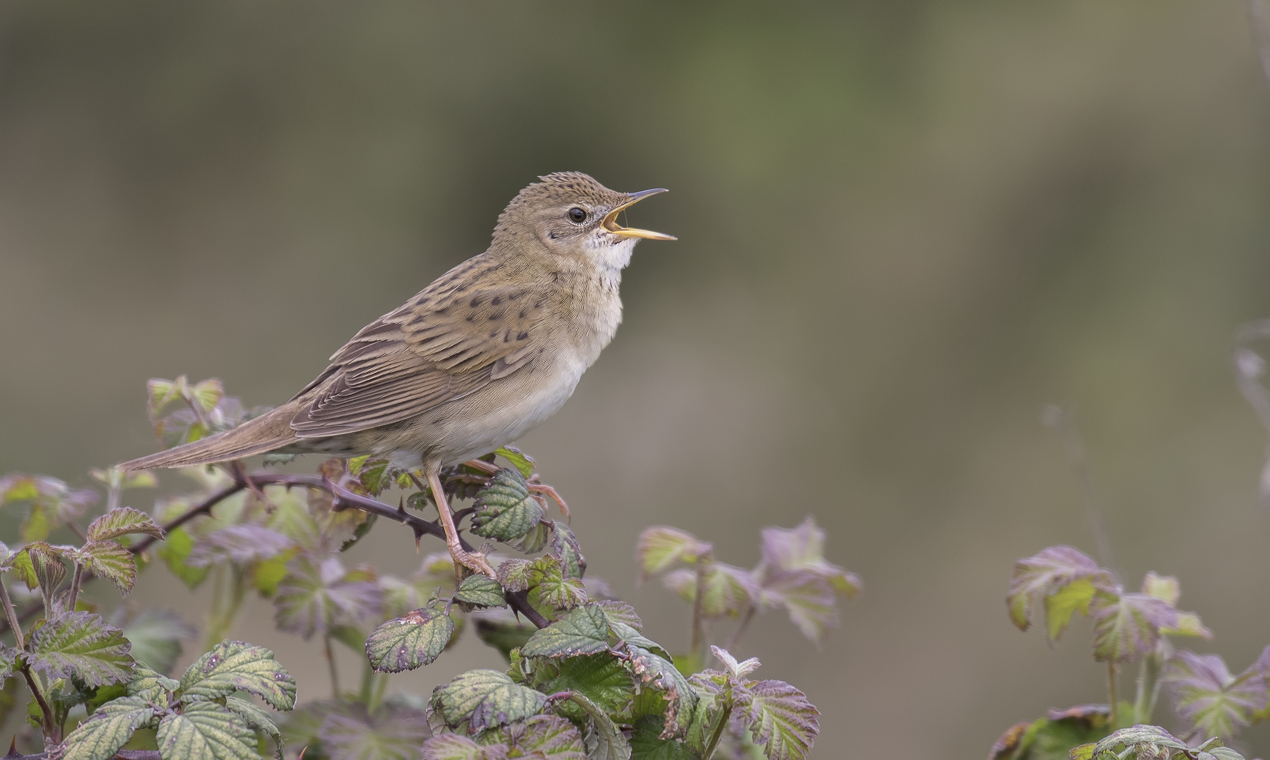 Grasshopper Warbler 23rd April.jpg
