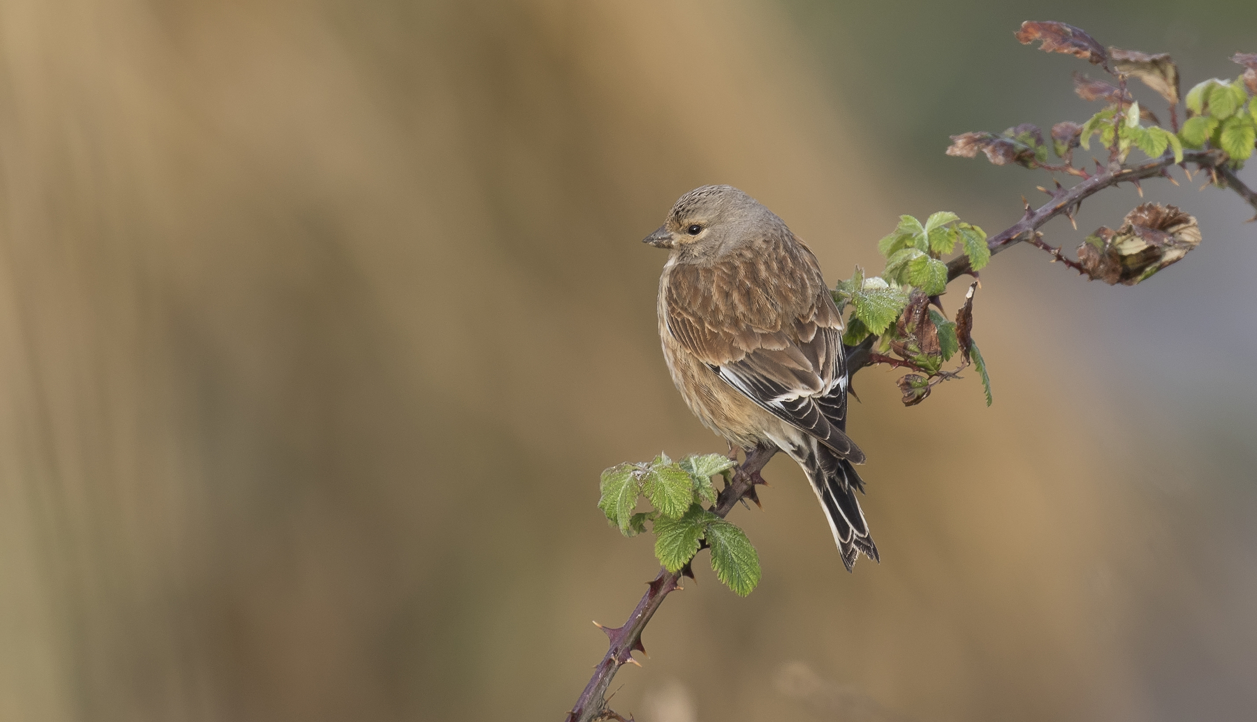 Linnet 23rd April.jpg
