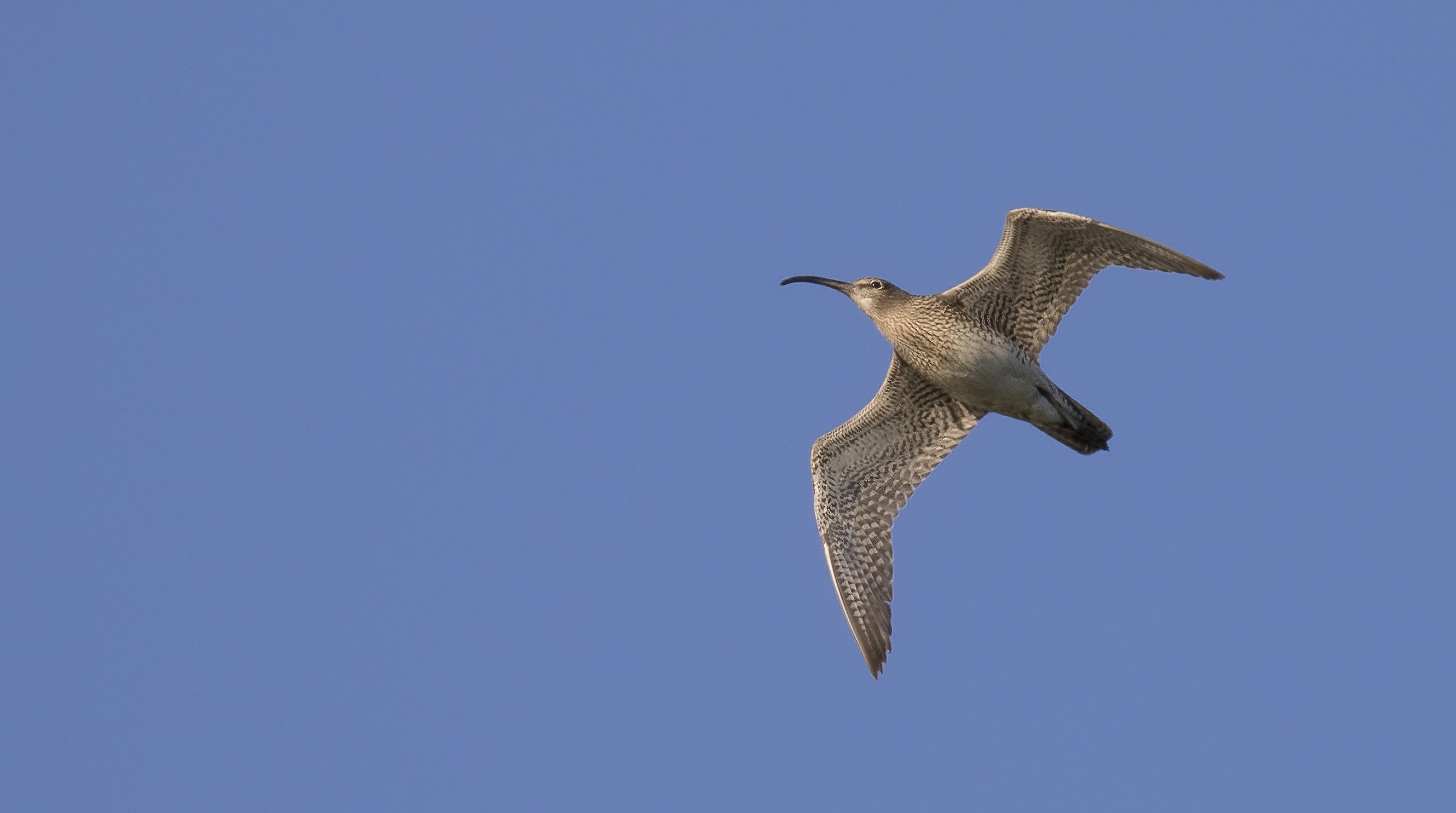 Curlew or Whimbrel? Flight shot 26th April.jpg