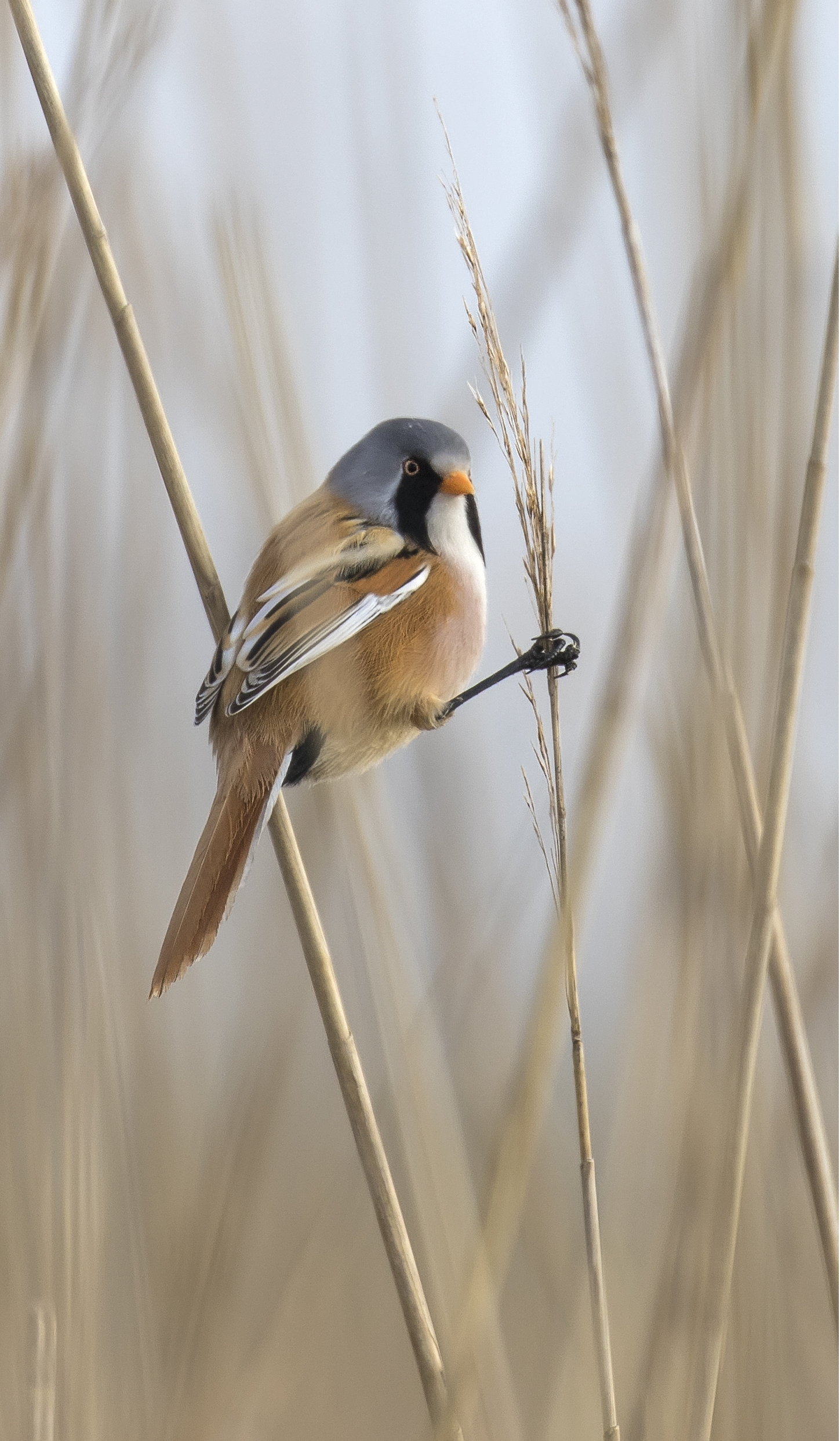Bearded Tit Looking Back 23rd April.jpg