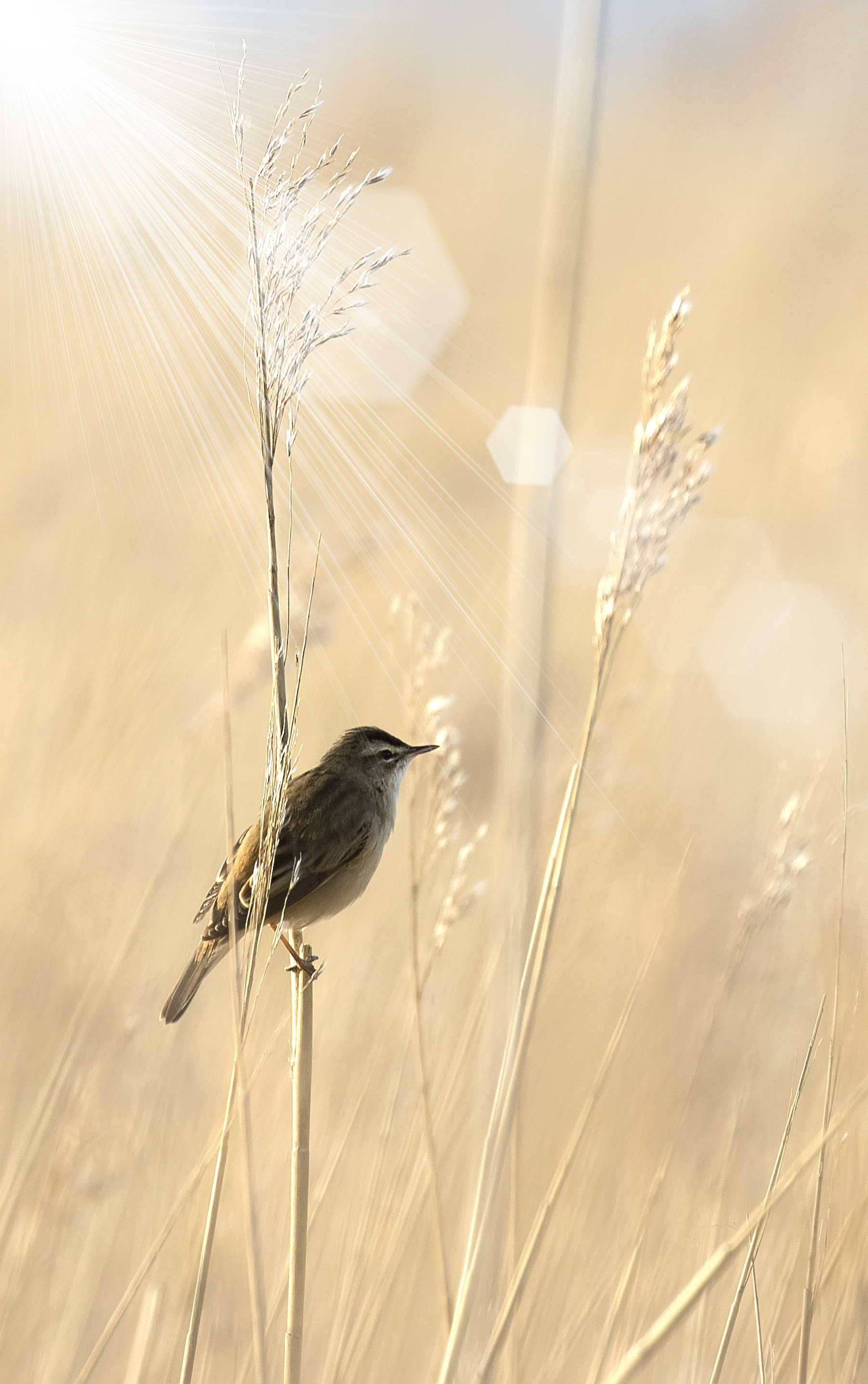 Sedge Warbler Portrate 23rd April copy.jpg
