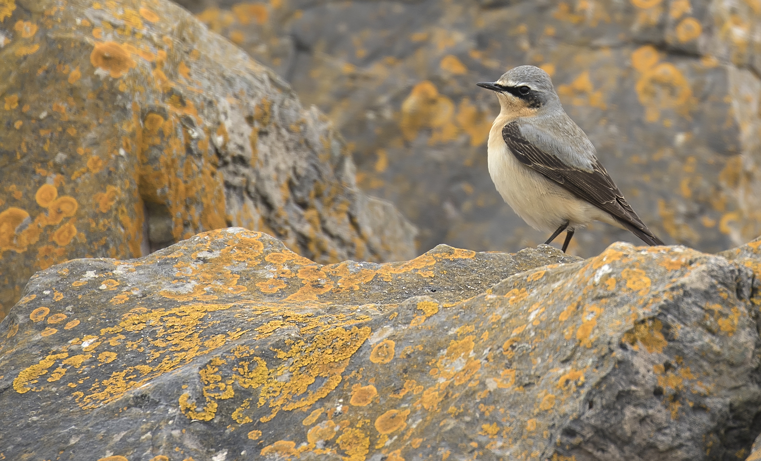 Wheatear Crop 23rd April.jpg