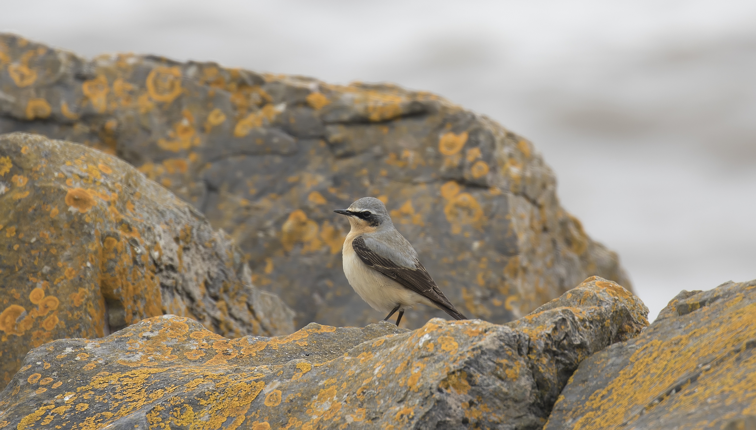 Male Wheatear Sea Wall 23rd April.jpg
