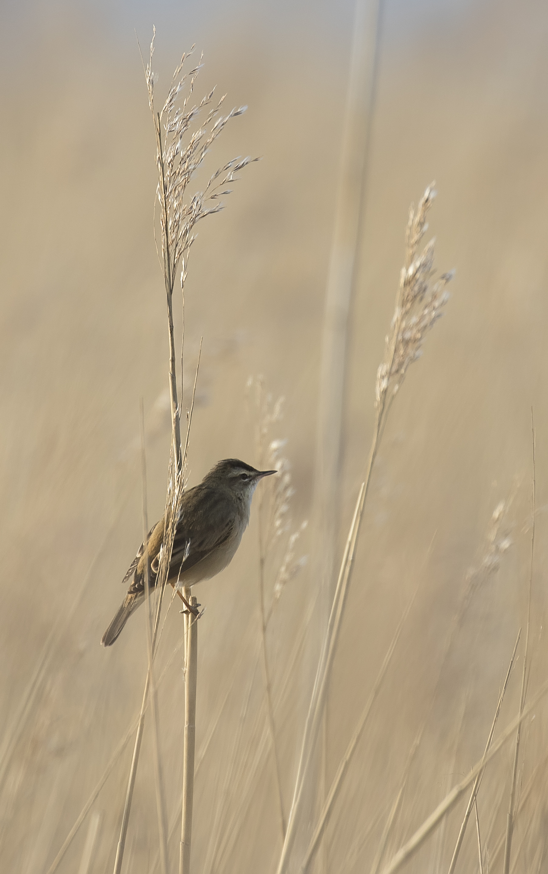 Sedge Warbler Portrate 23rd April.jpg