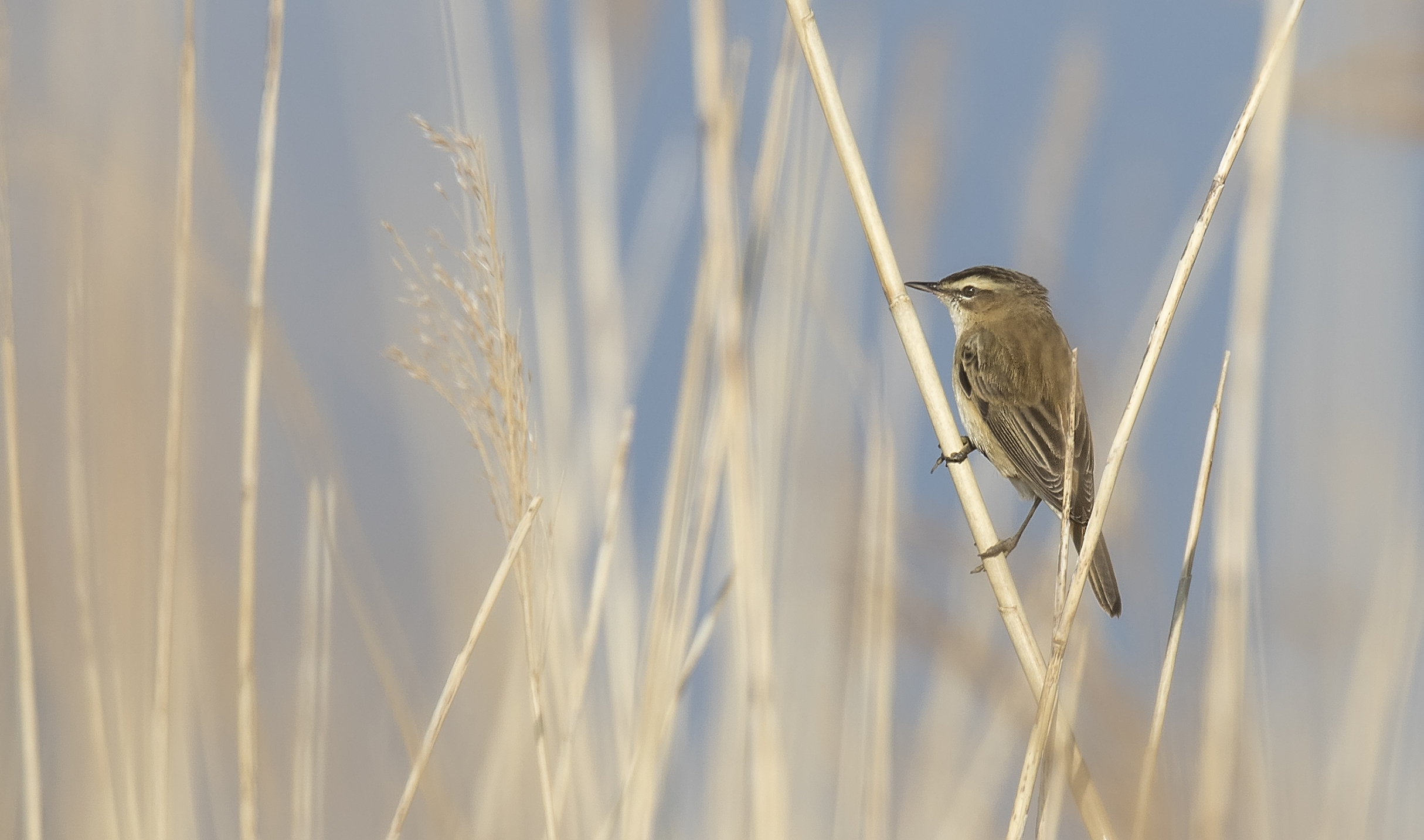 Sedge Warbler 23rd April.jpg