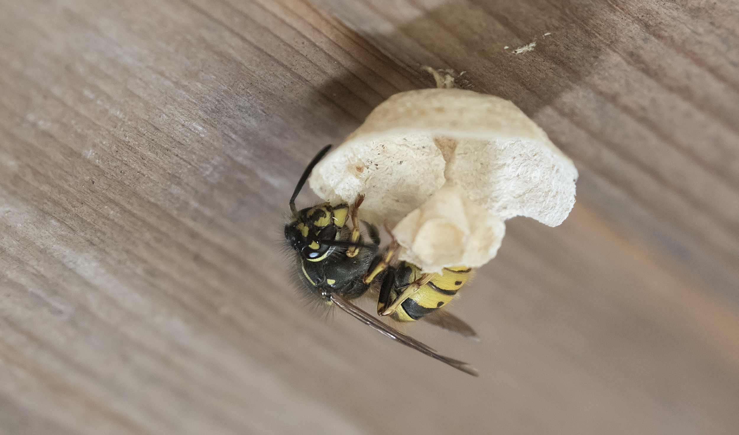 Wasp starting nest in shed 23rd April.jpg
