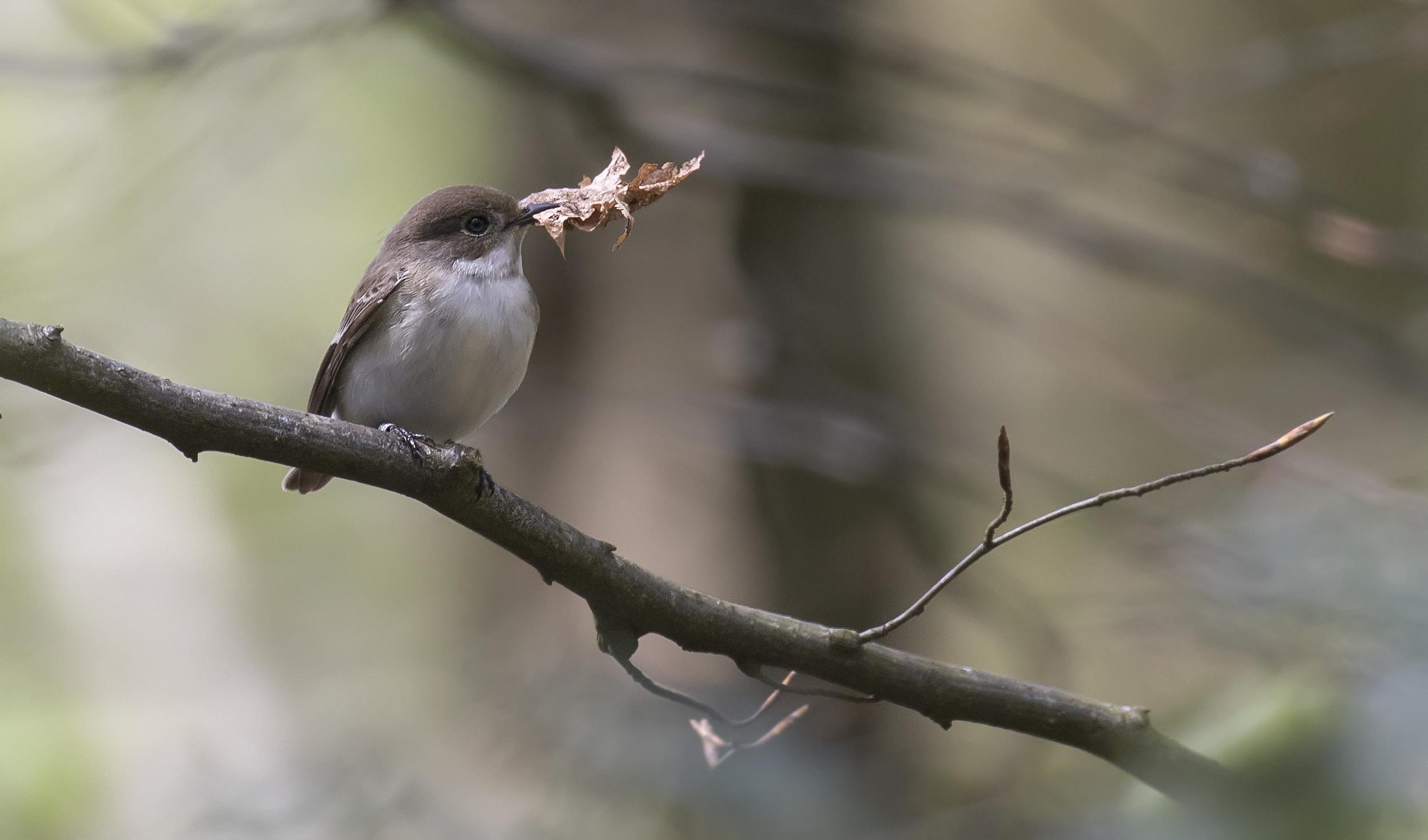 Female Pied Nesting Material 30th April.jpg