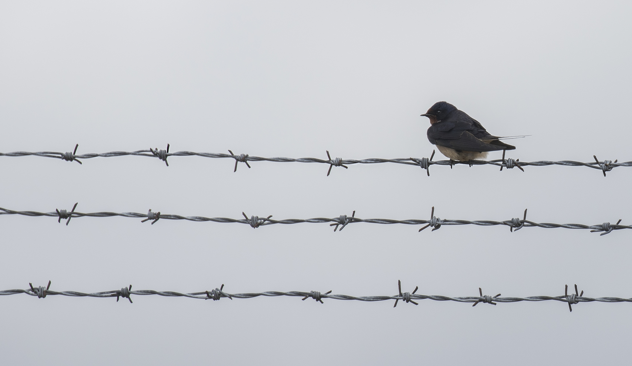 Swallow Barbed Wire 30th April.jpg