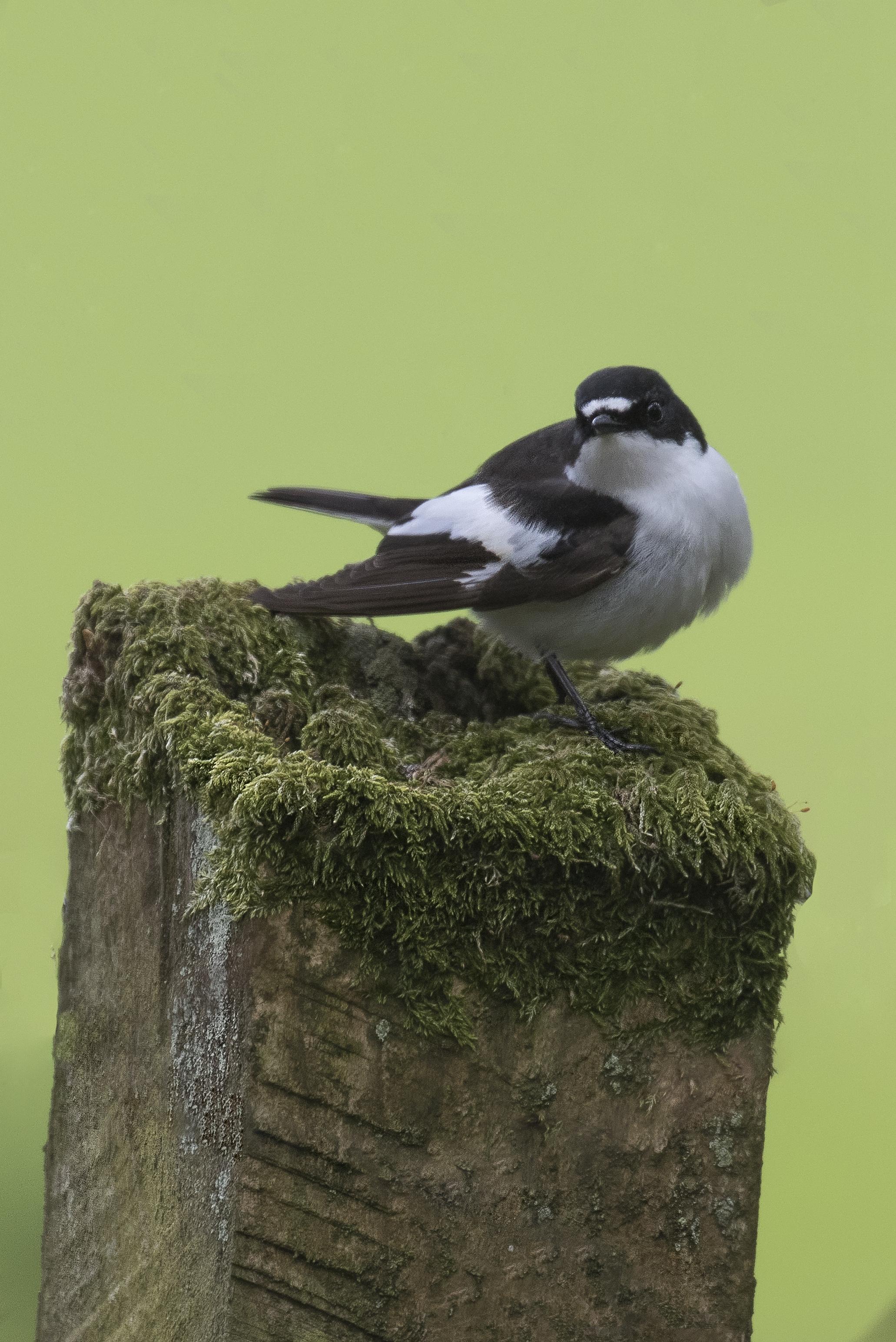 Male Pied Flycatcher 1st May.jpg