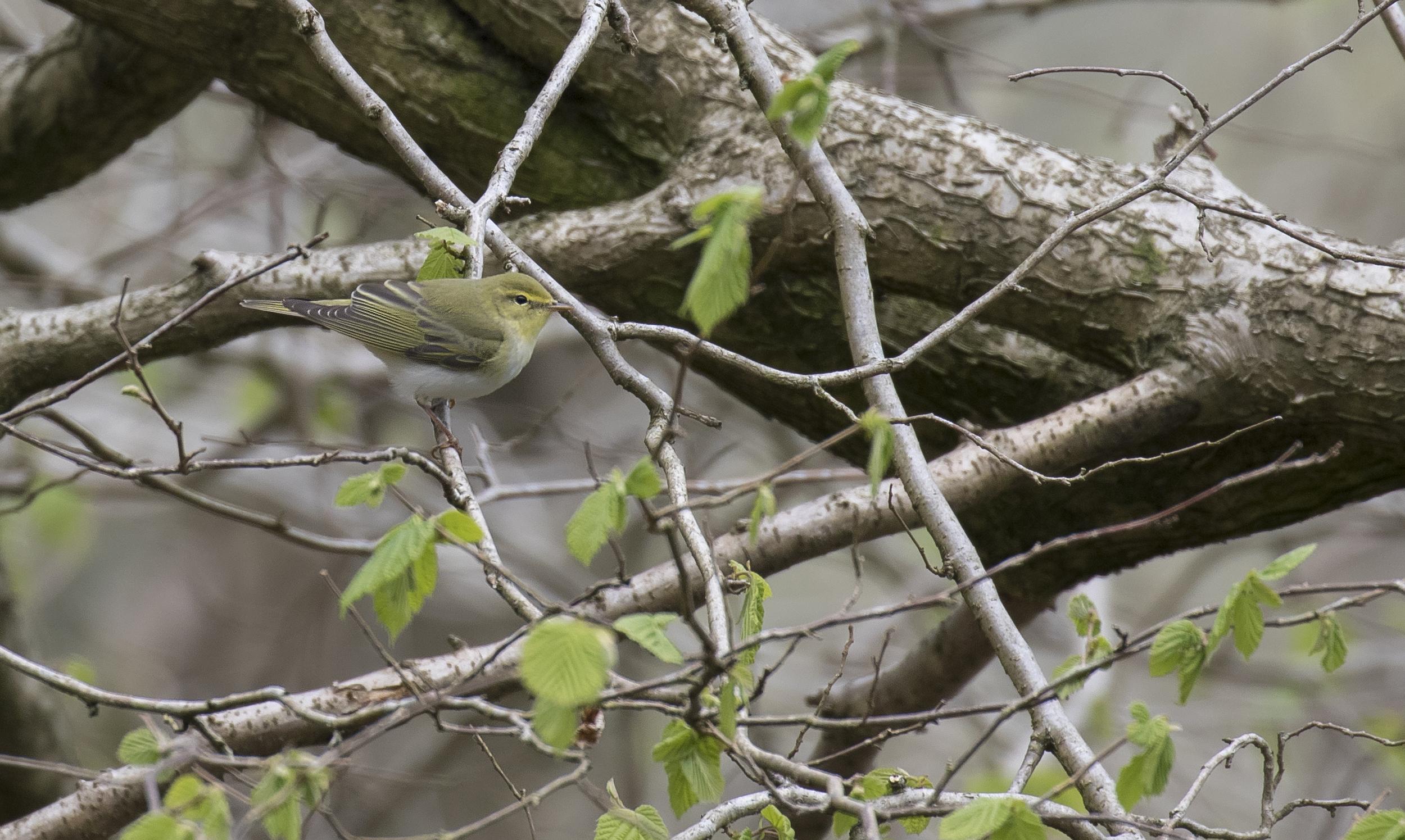 Wood Warbler 1st May.jpg