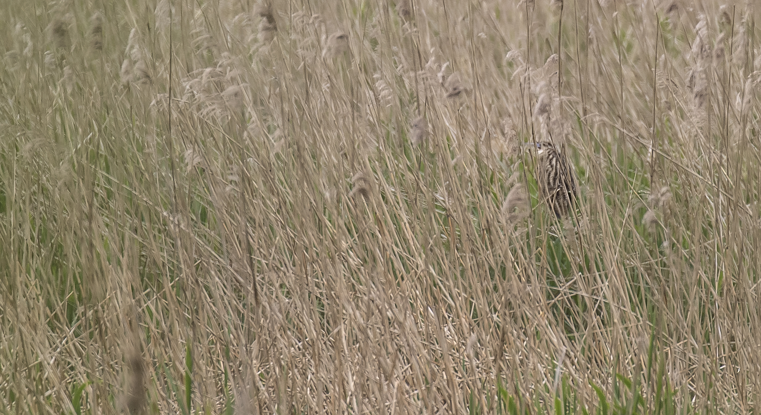 Bittern Hiding 4th May.jpg