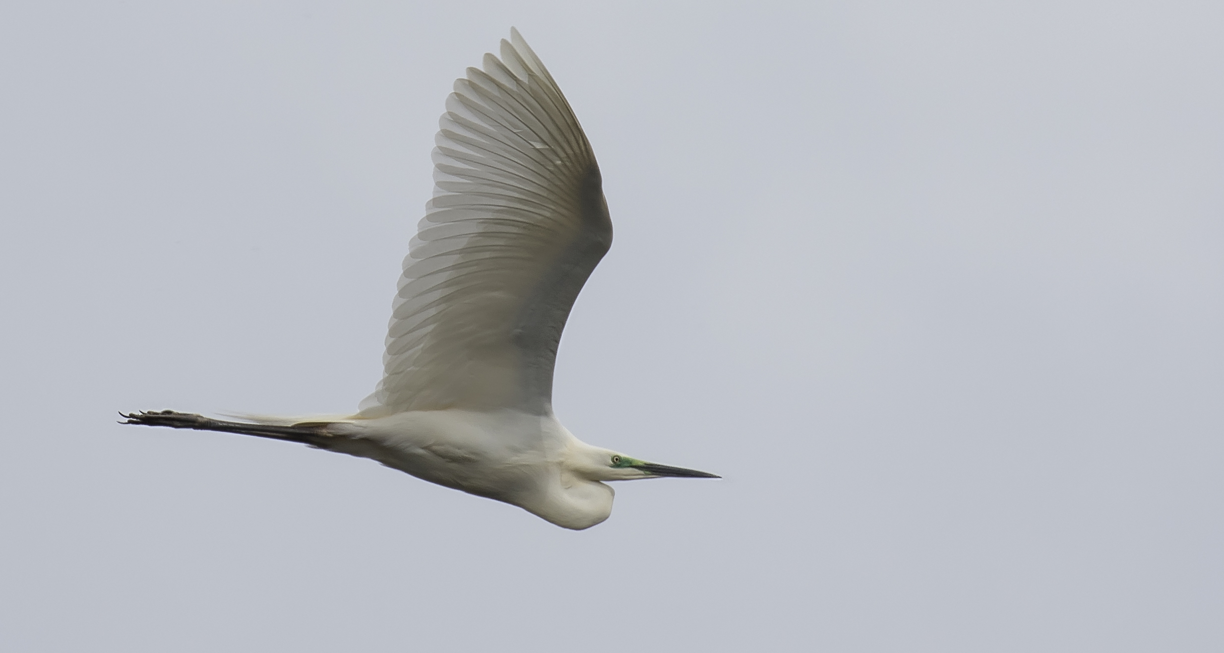 Great White Egret Crop 4th May.jpg