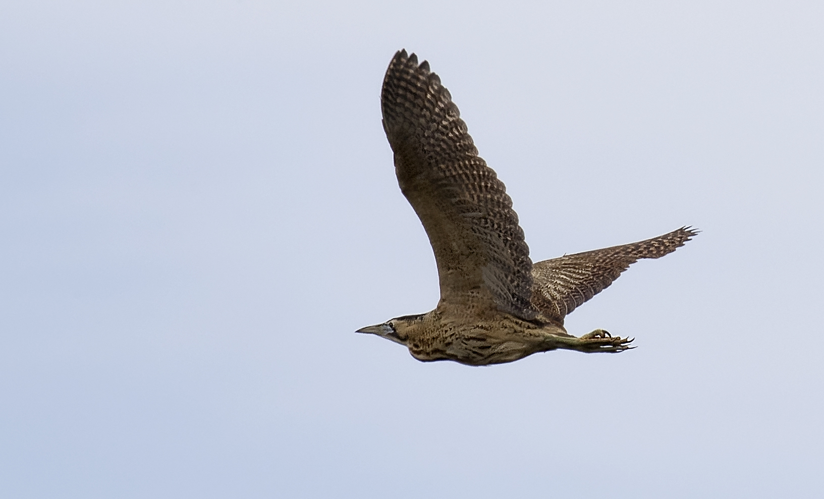 Bittern Flight Crop 5th May.jpg