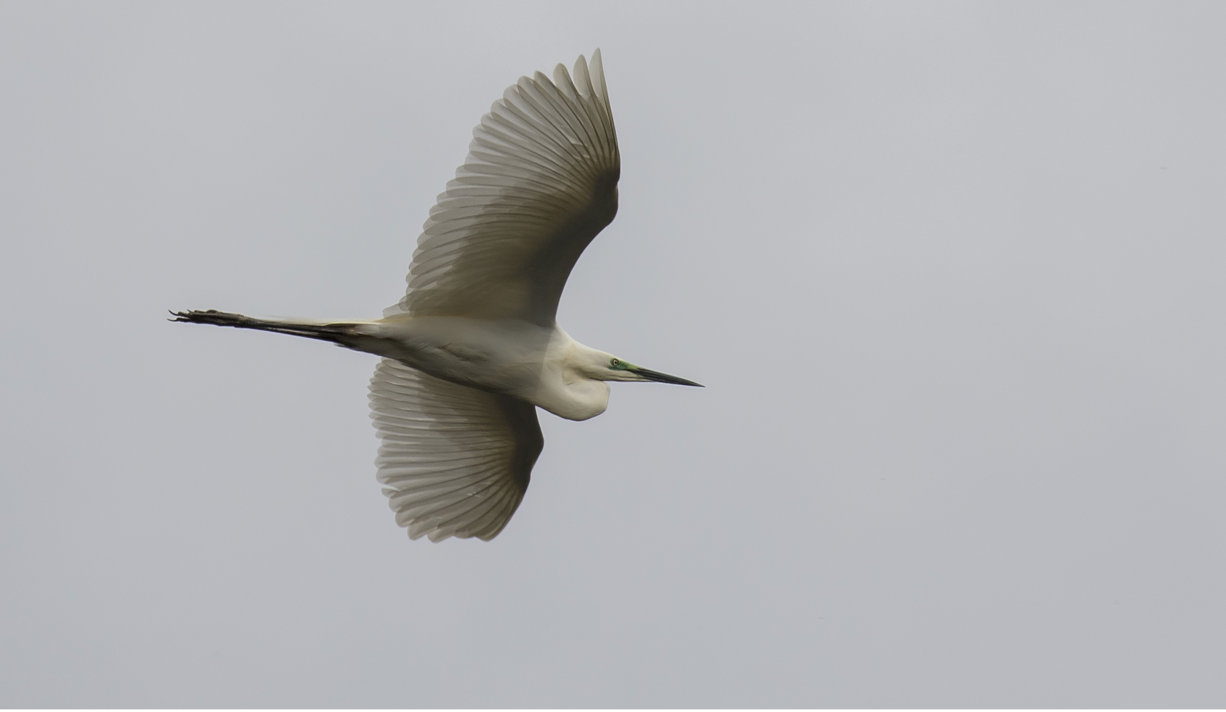 Great White Egret 2 4th April.jpg