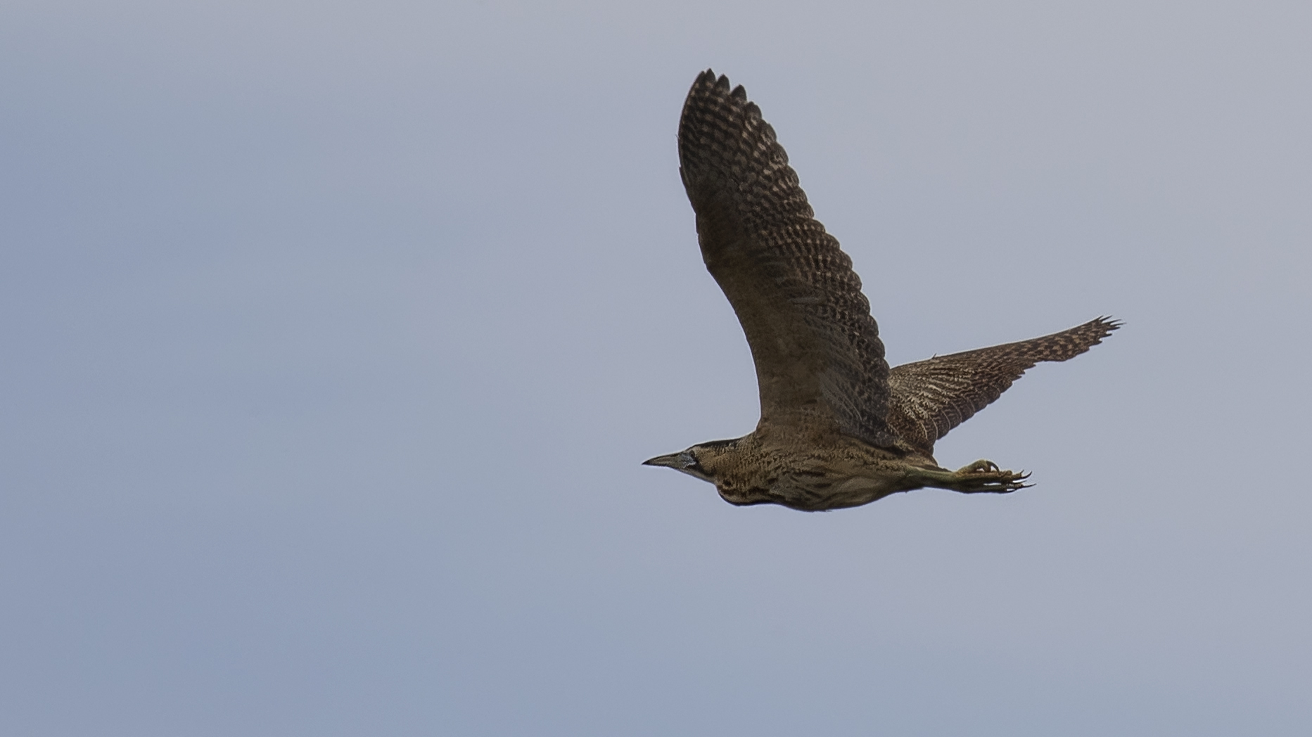 Bittern Flight 4th May.jpg