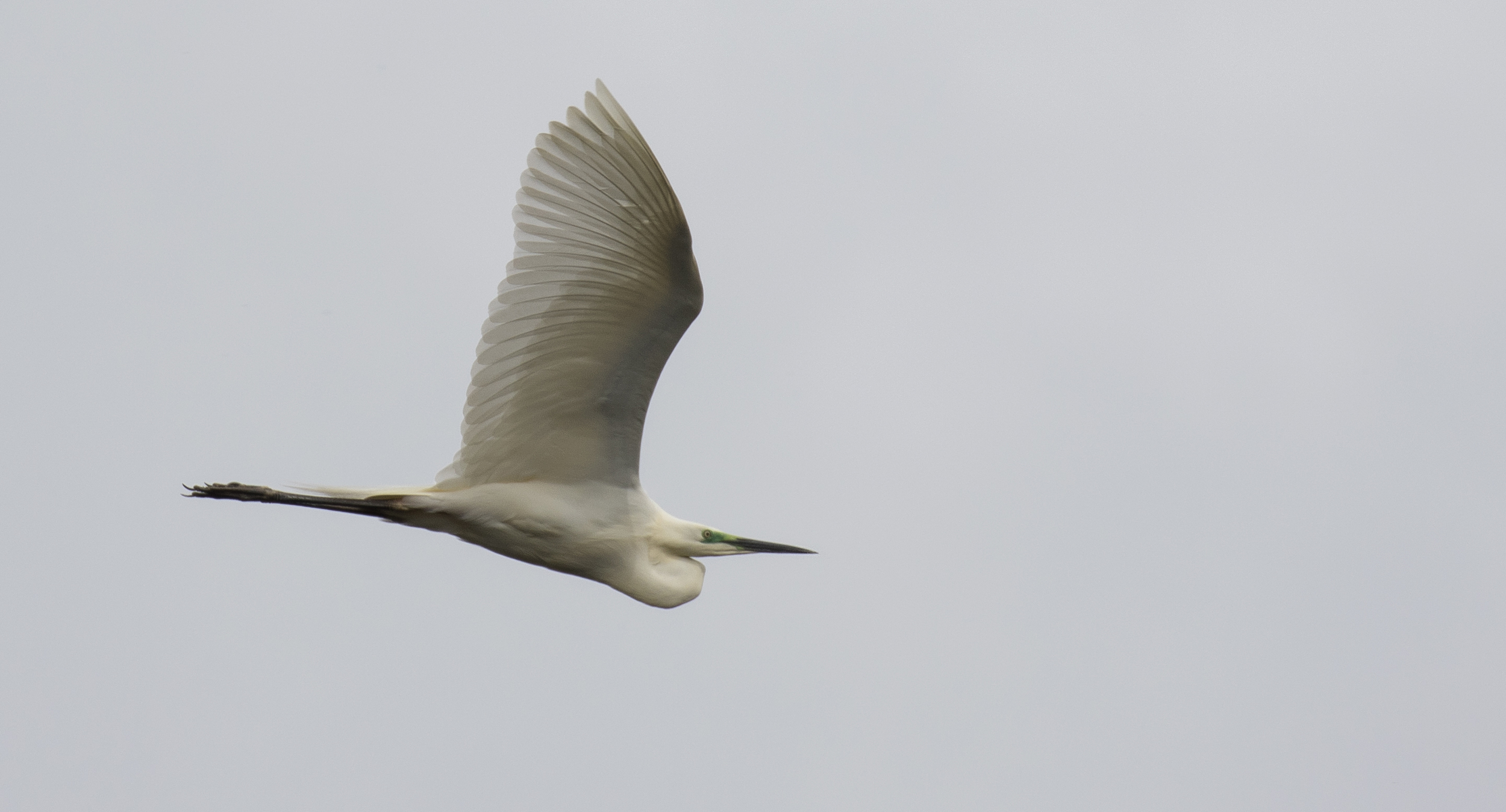 Great White Egret 4th April.jpg