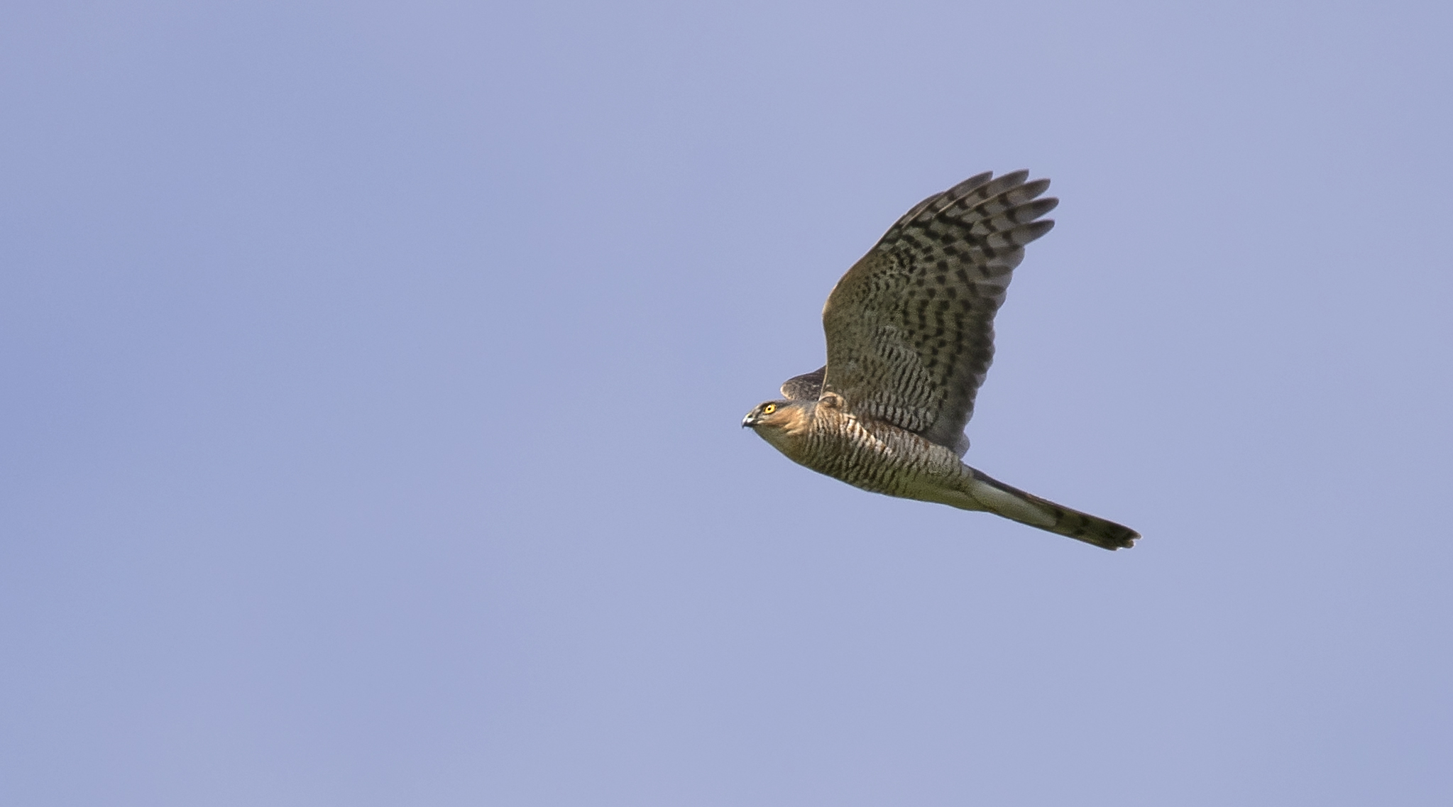 Sparrowhawk 3rd May.jpg