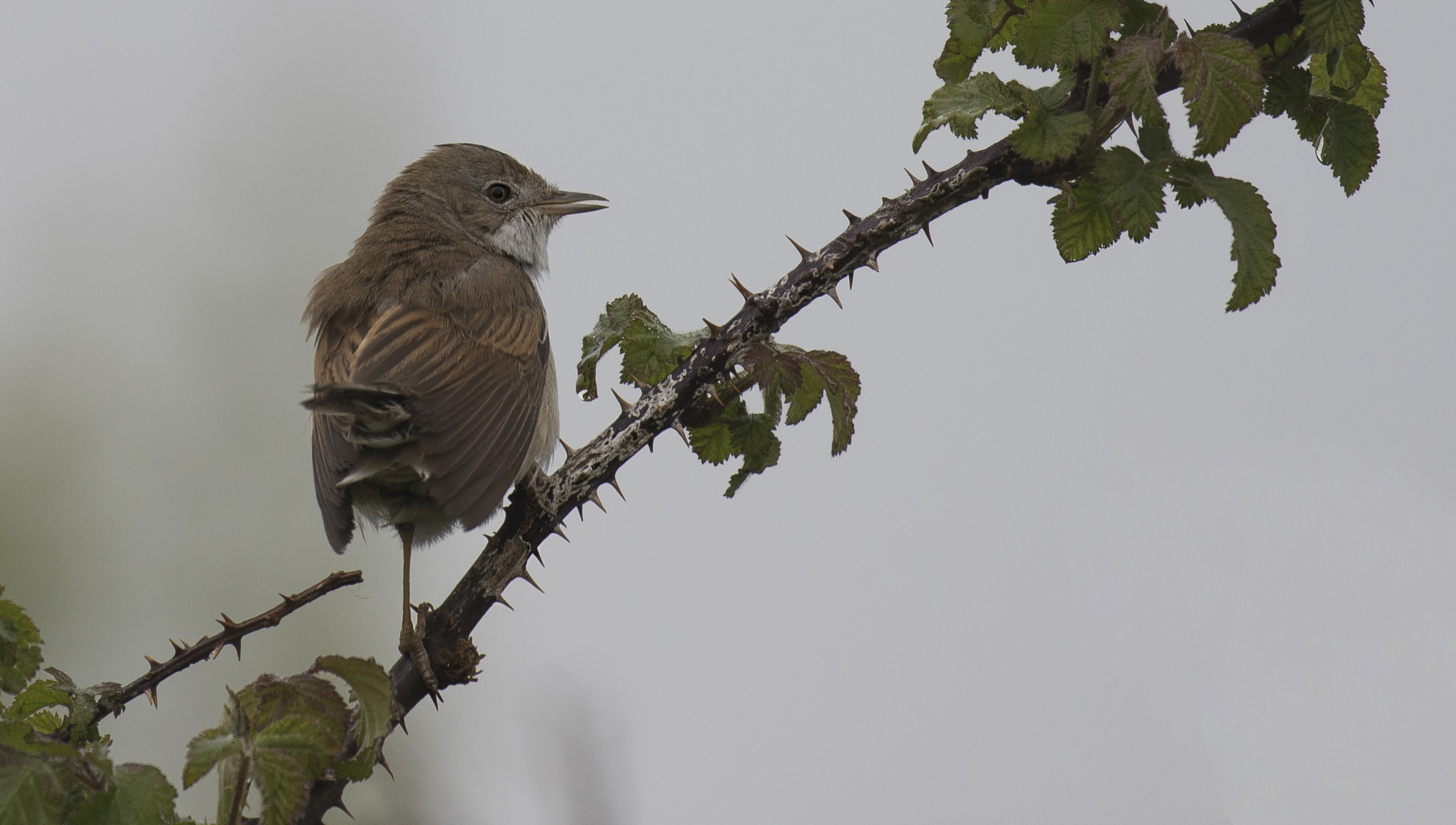 Whitethroat 2nd May.jpg