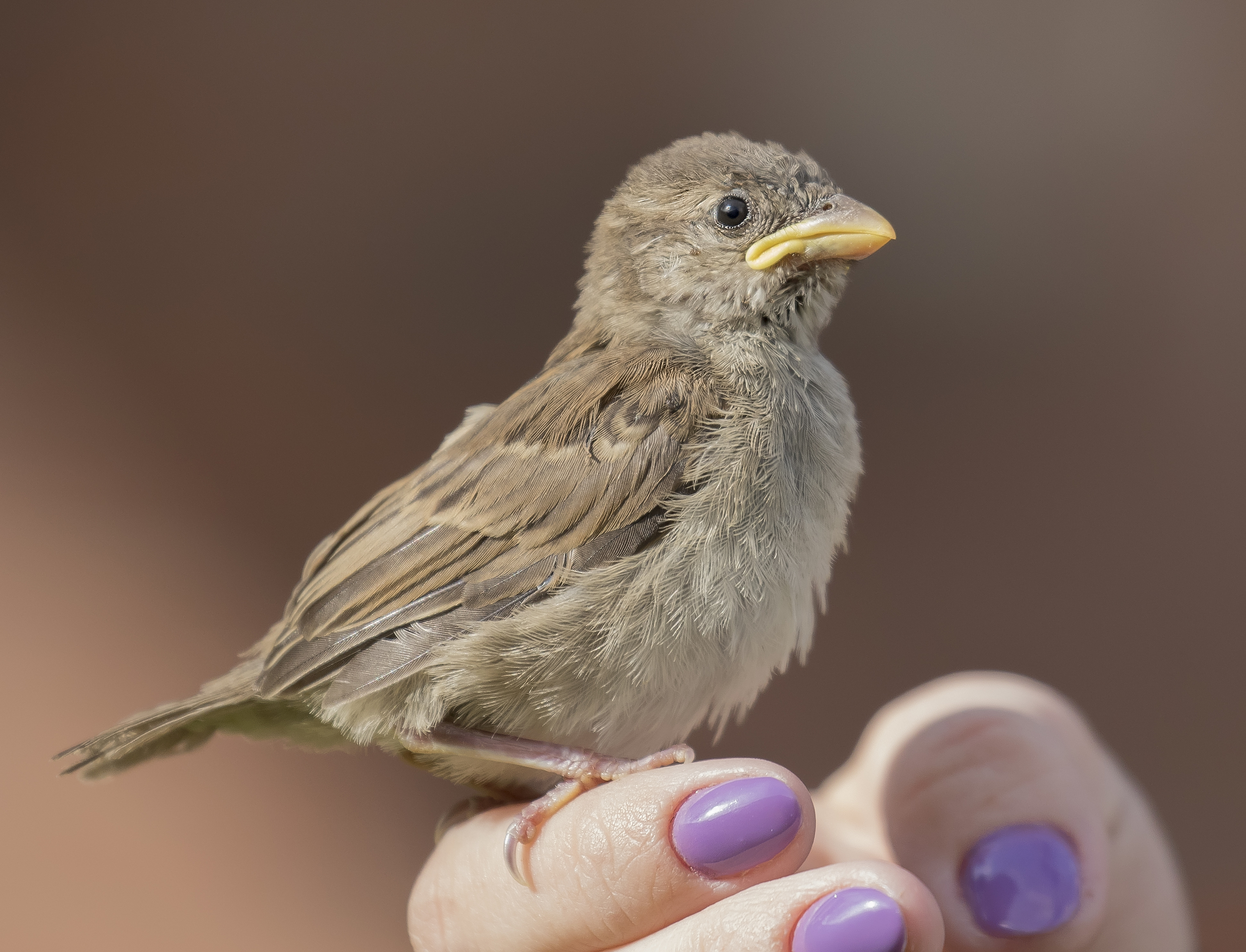 House Sparrow Chick 8th May.jpg