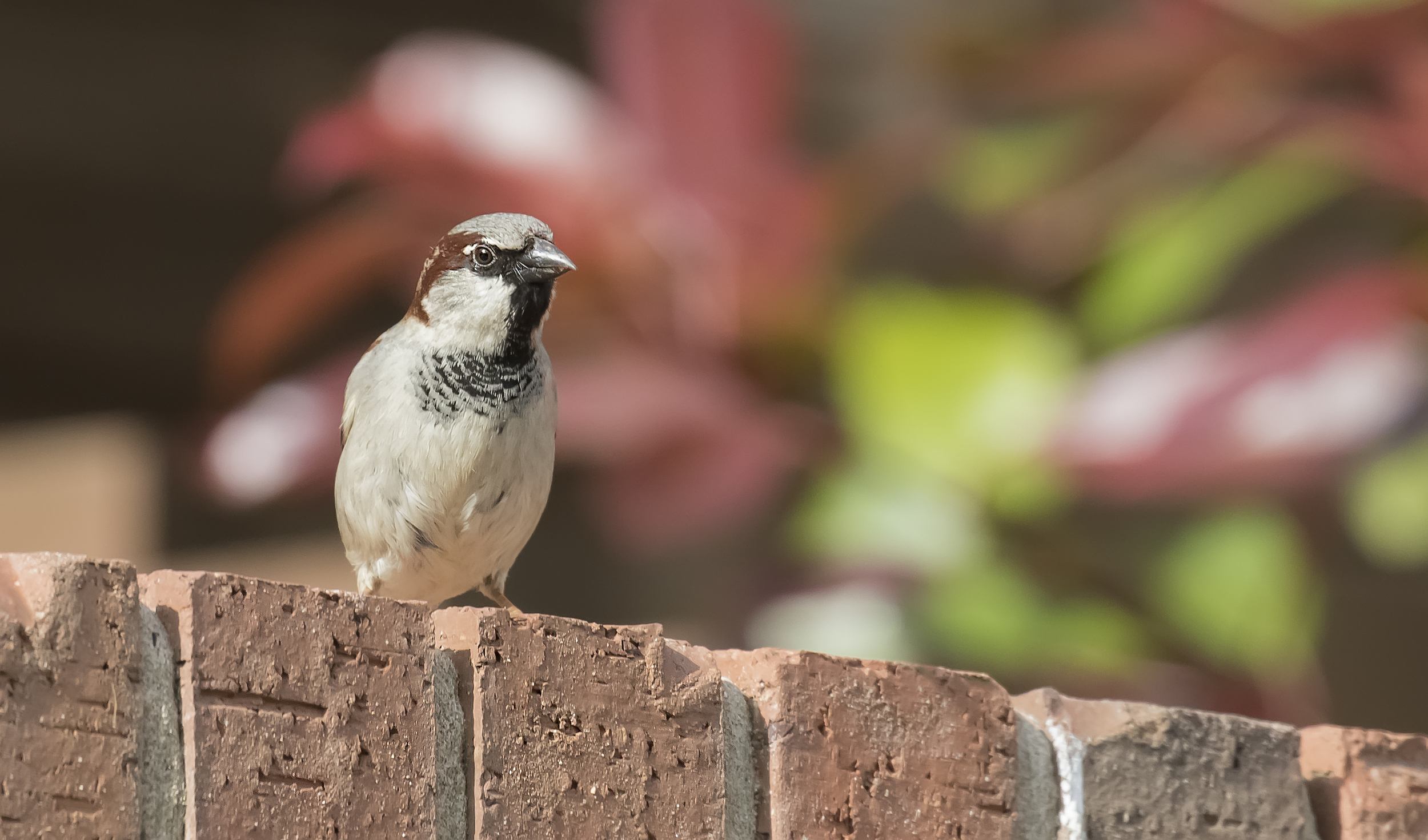 Male House Sparrow 8th May.jpg