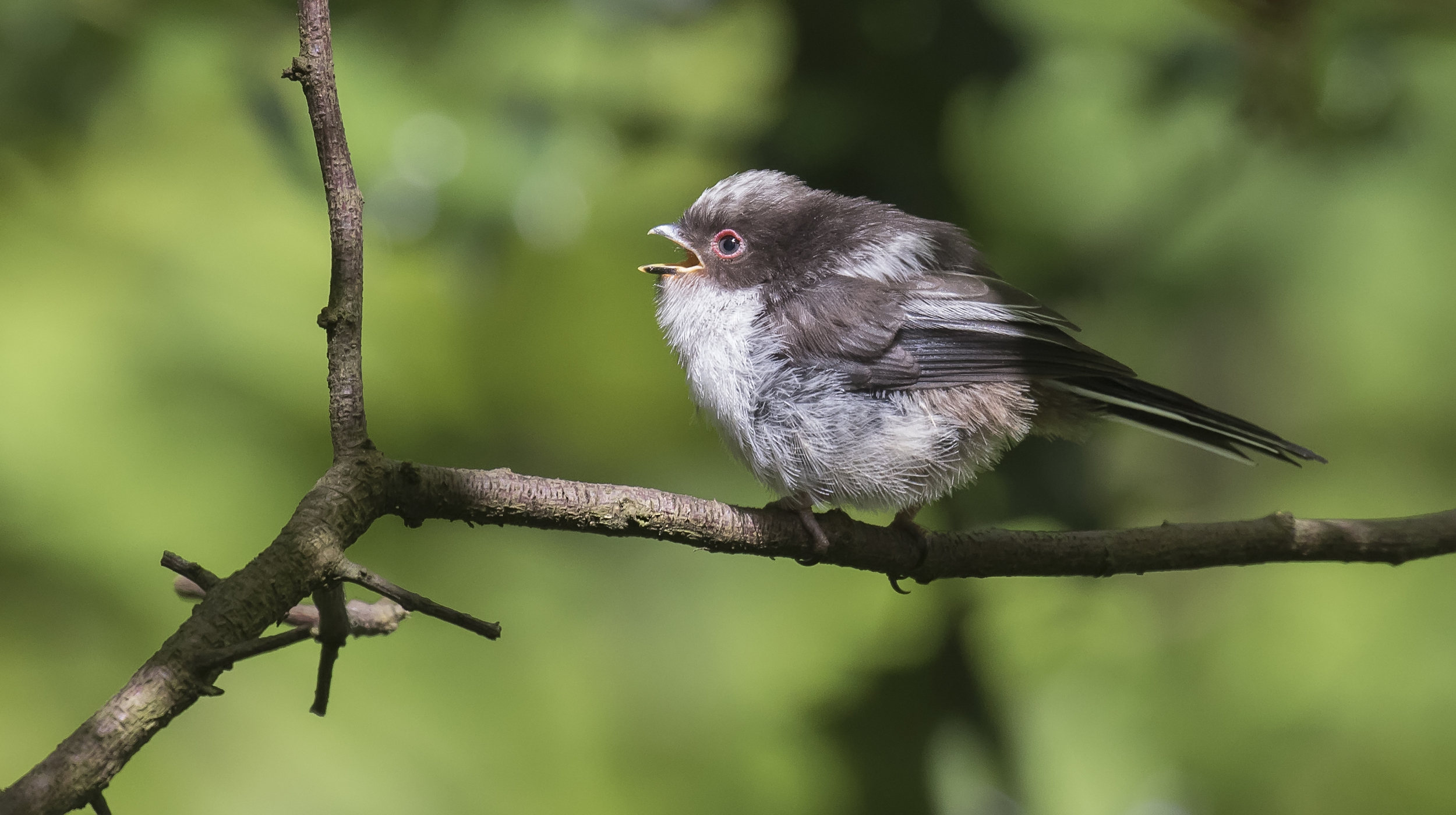 Long Tailed Tit Chick 9th May.jpg