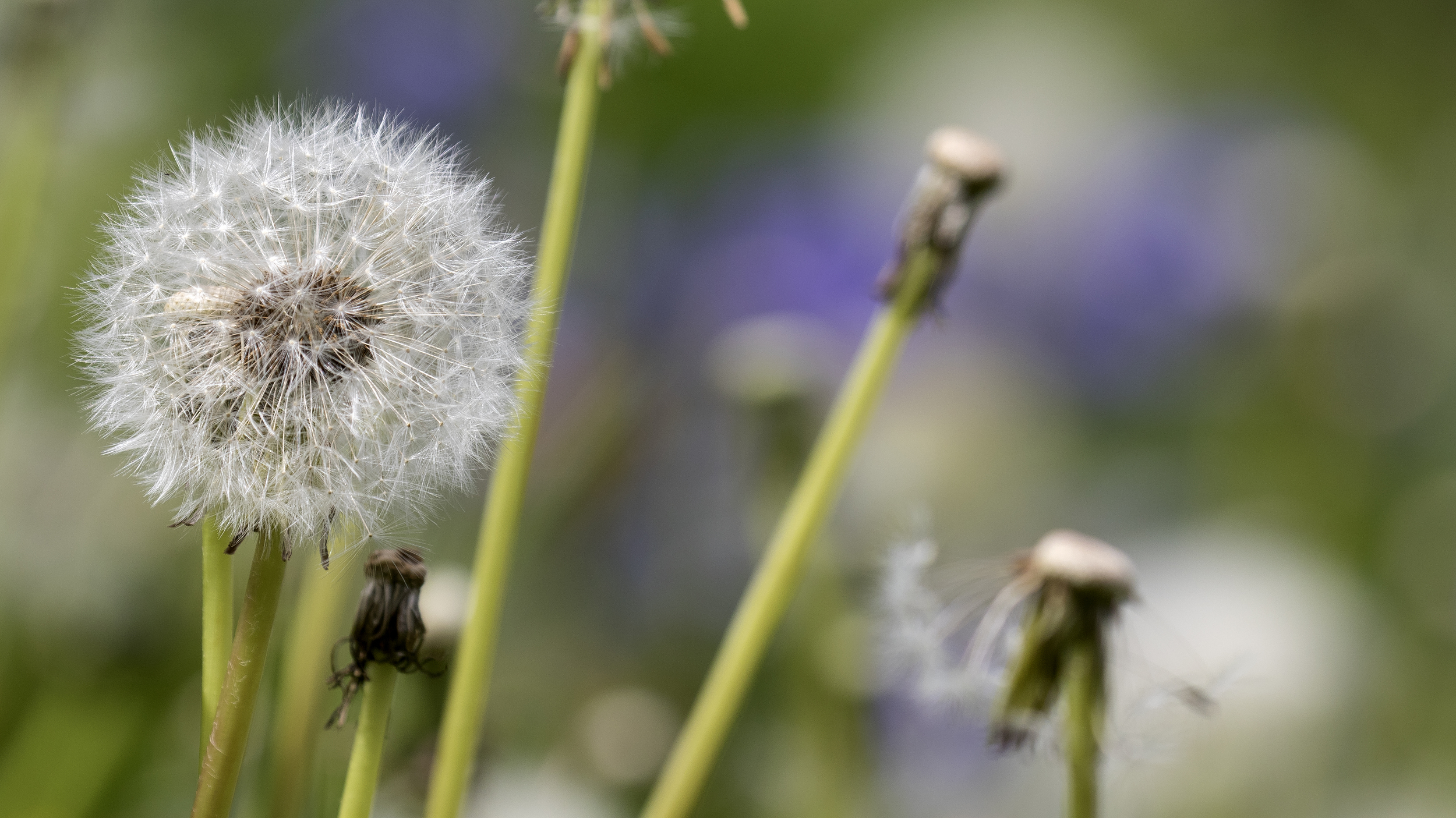 Dandilion 9th May.jpg