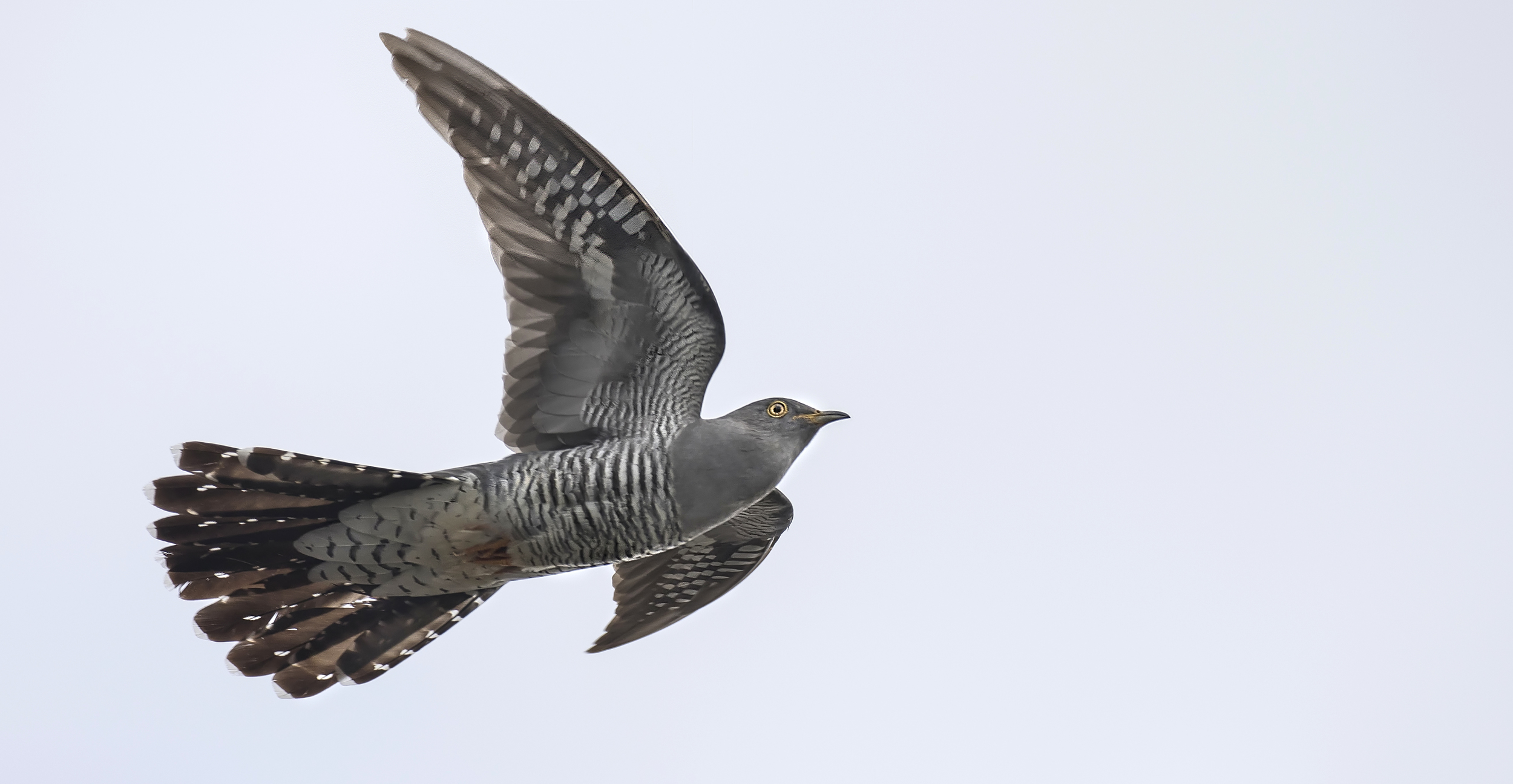 Cuckoo Flight Shot Full 10th May.jpg