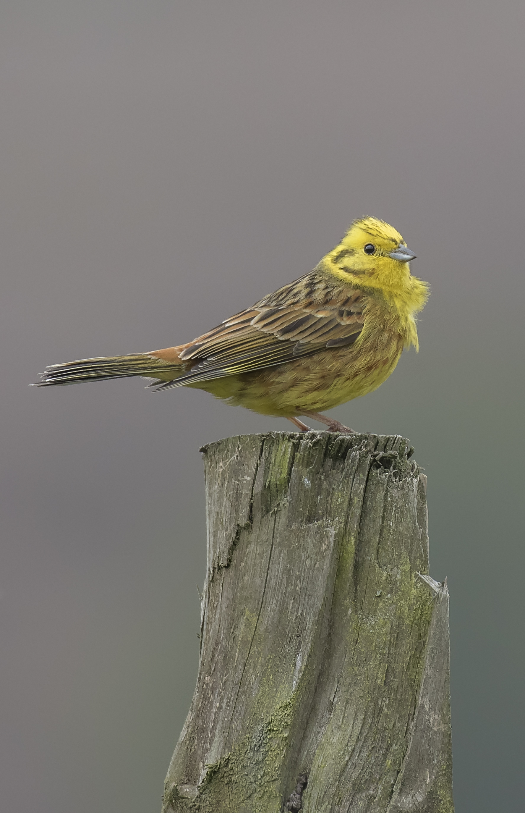 Yellowhammer Fense Post Crop 10th May.jpg
