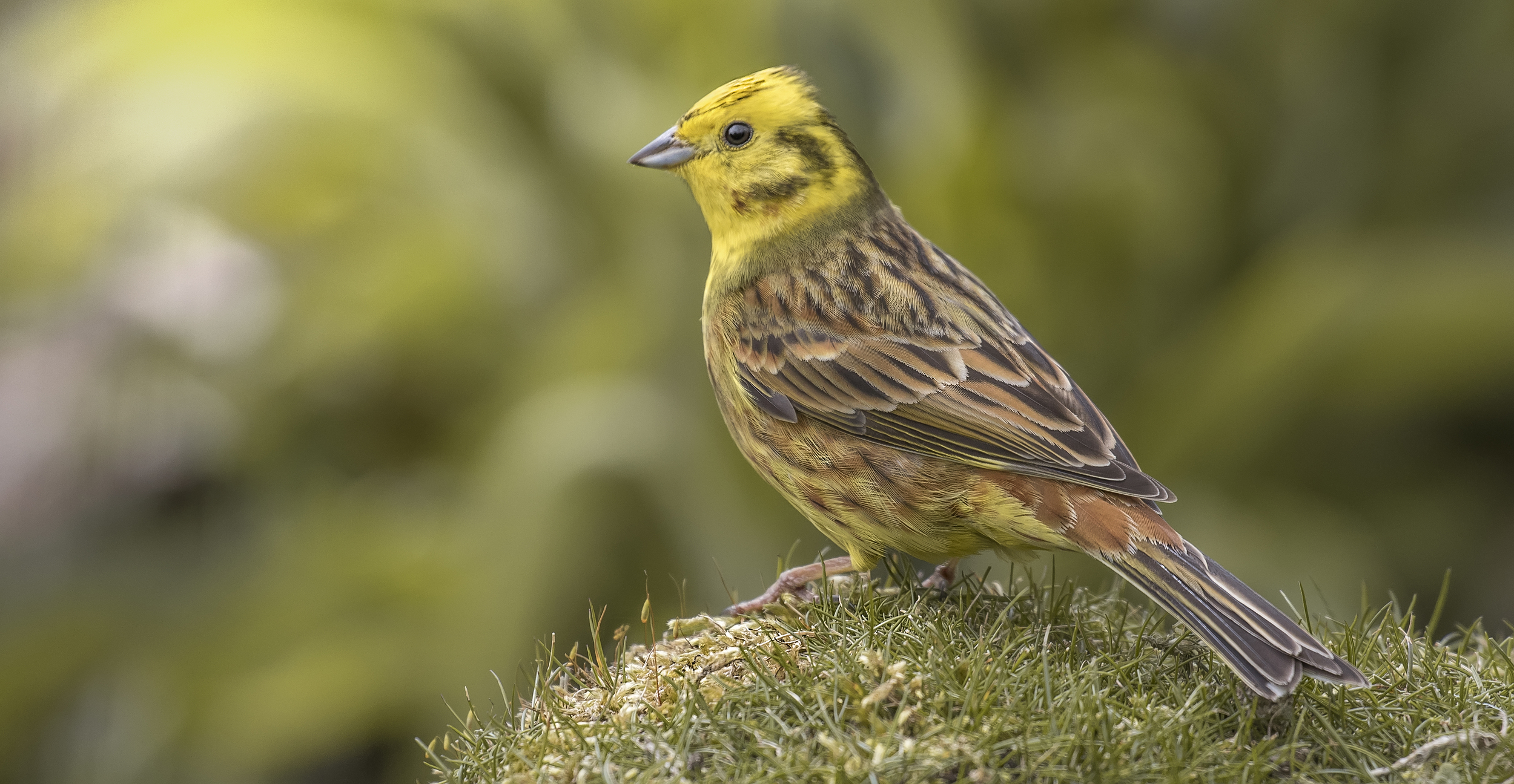 Yellowhammer Grass 10th May.jpg